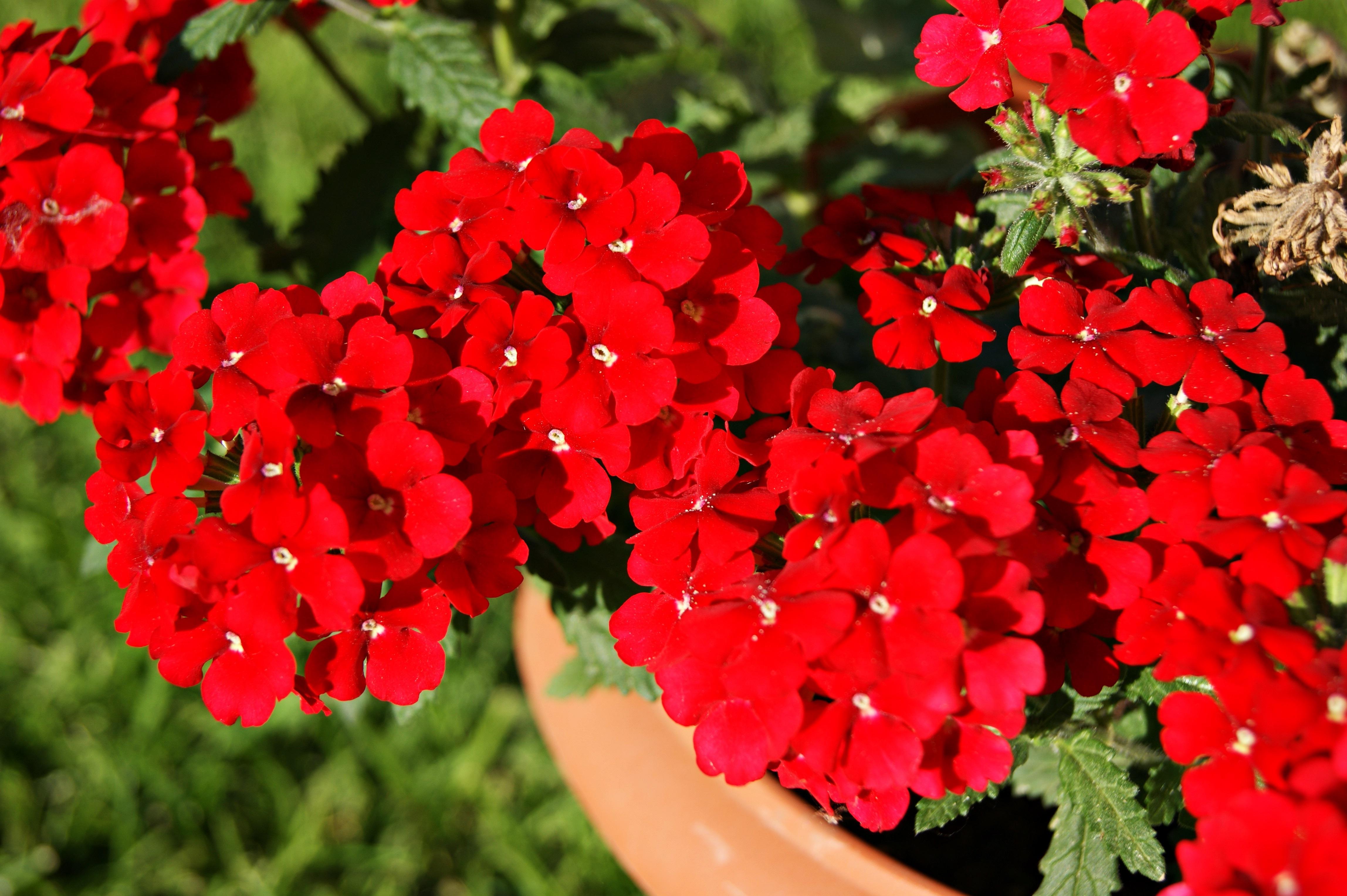Images Gratuites : la nature, fleur, pétale, été, printemps, rouge ...