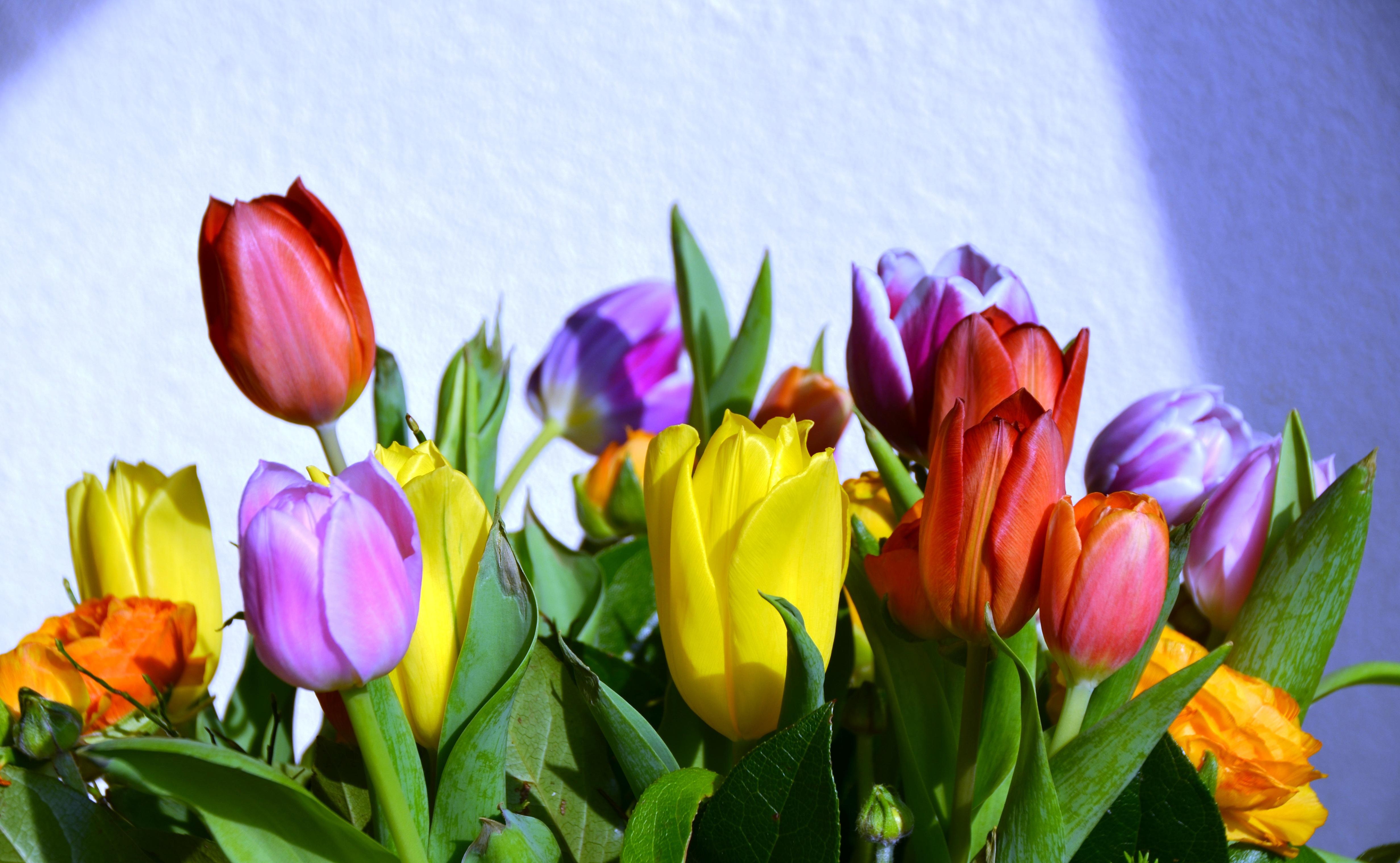Free Images Nature Flower Petal Summer Tulip Spring Color