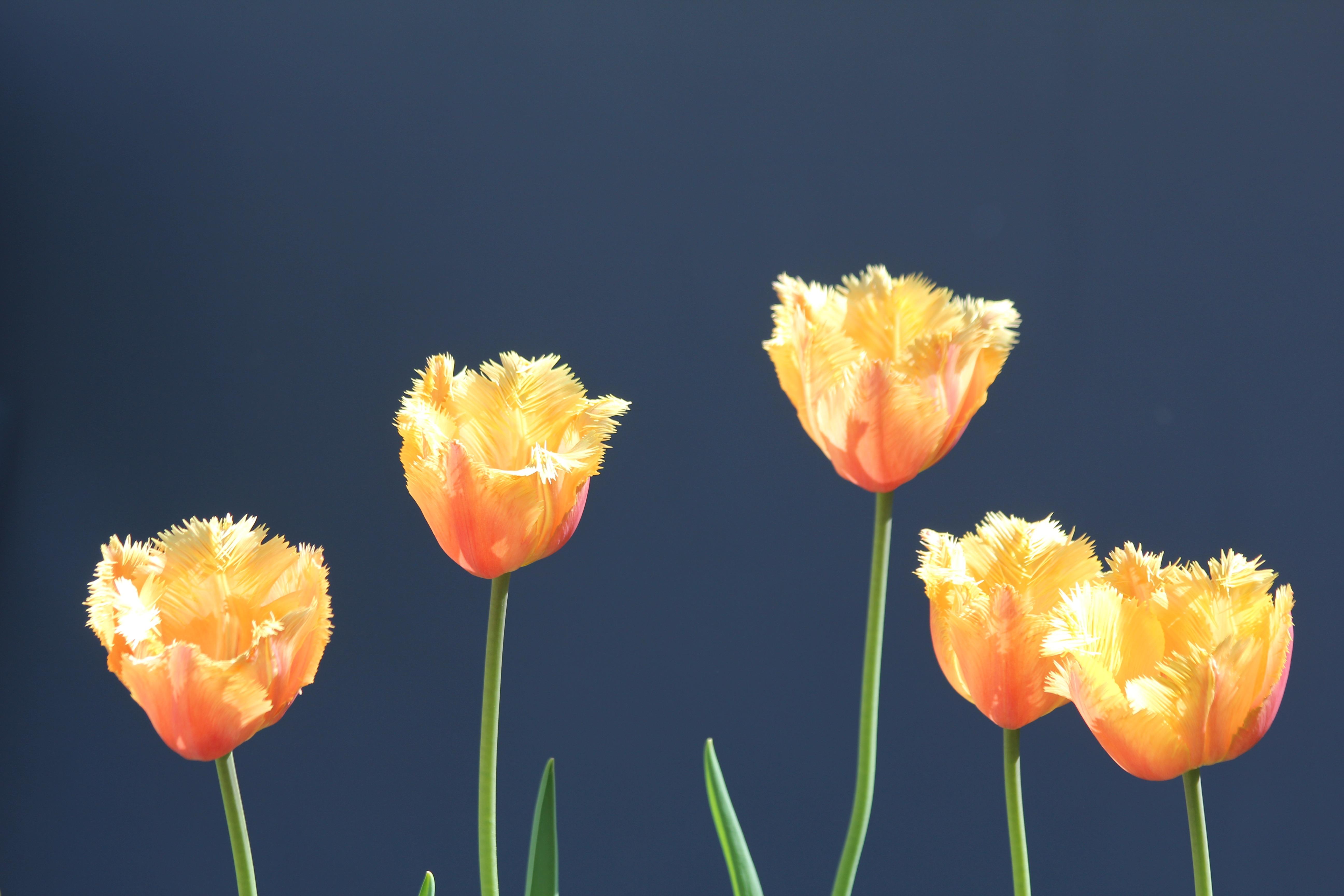 Fotos Gratis Naturaleza Flor Petalo Tulipan Natural Amarillo