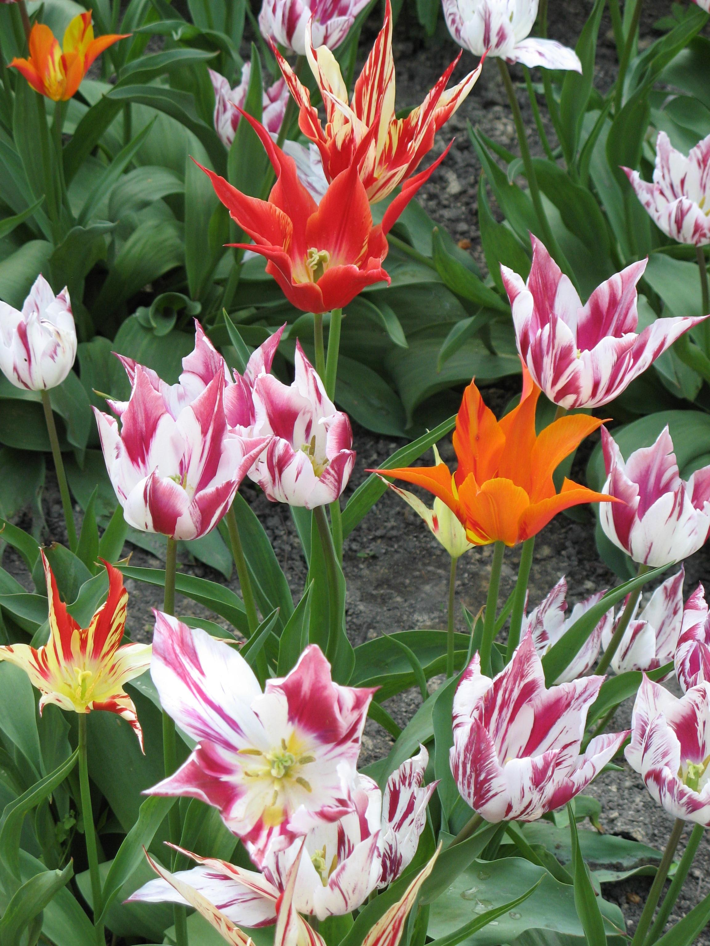 free images : nature, flower, petal, tulip, spring, botany, garden