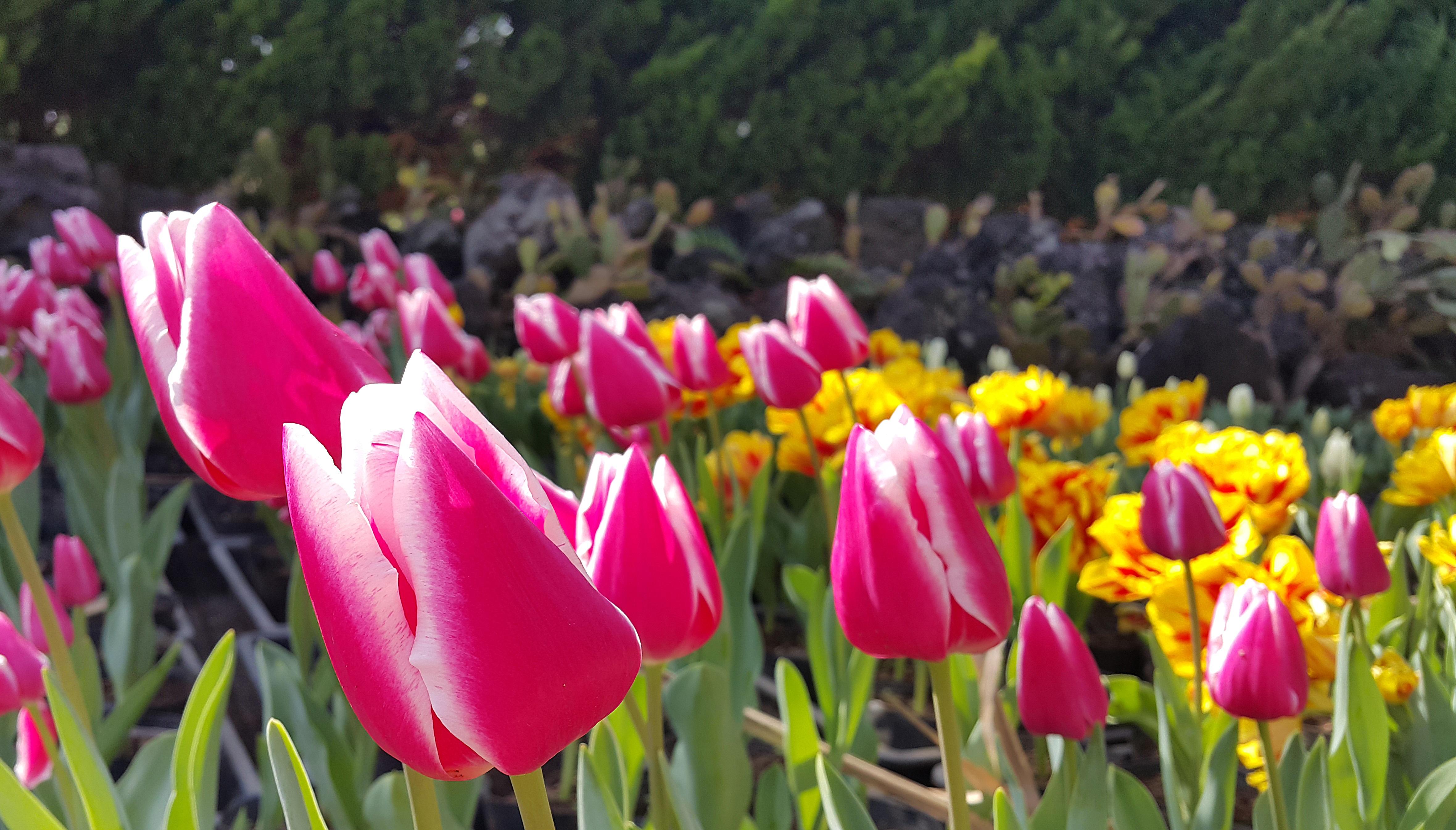 Free Images Nature Petal Tulip Spring Botany Pink Flora