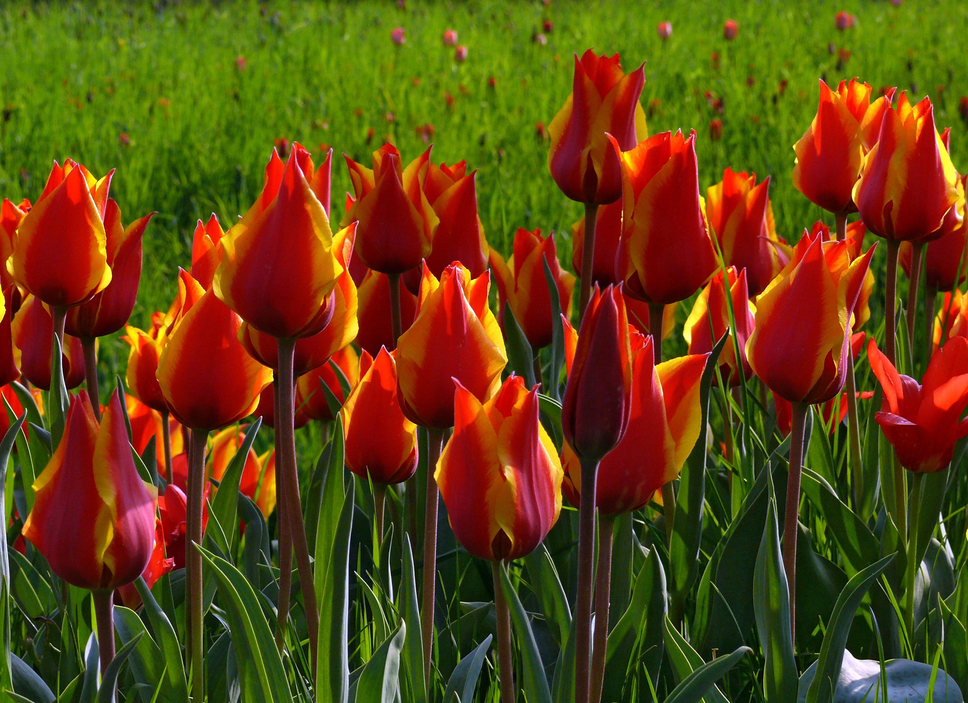 Смотреть тюльпаны картинки