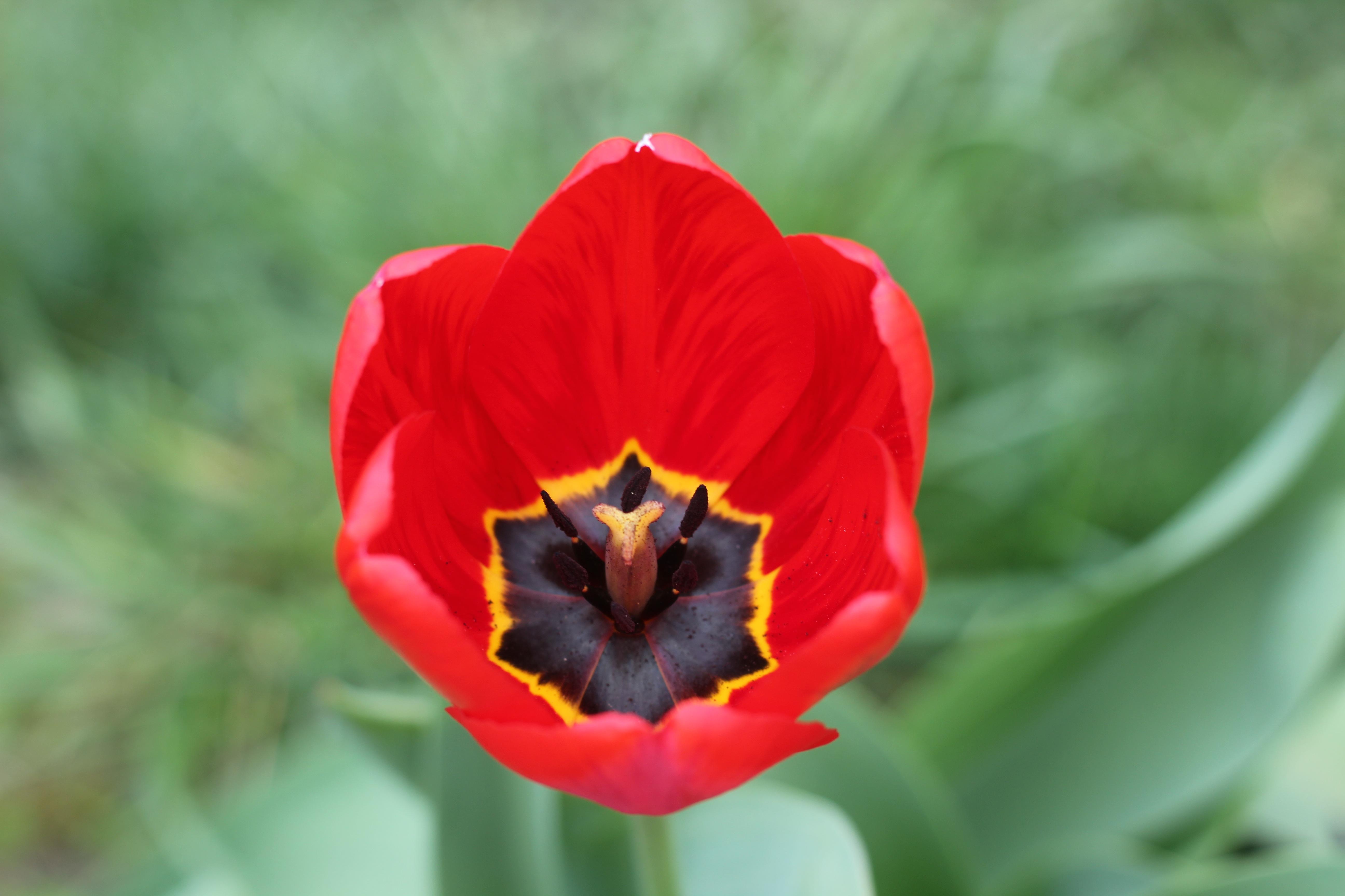 Free Images Nature Petal Tulip Spring Flora Plants Flowers
