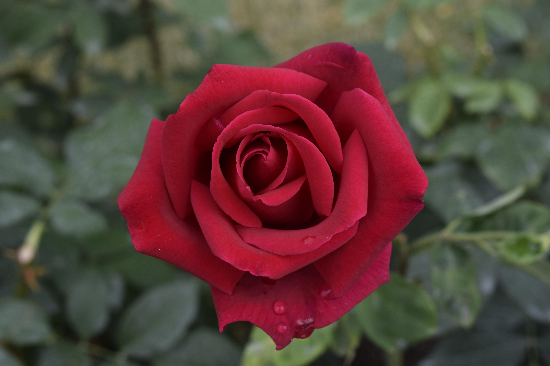 Banco de imagens natureza plantar flor p tala for Pianta rosa