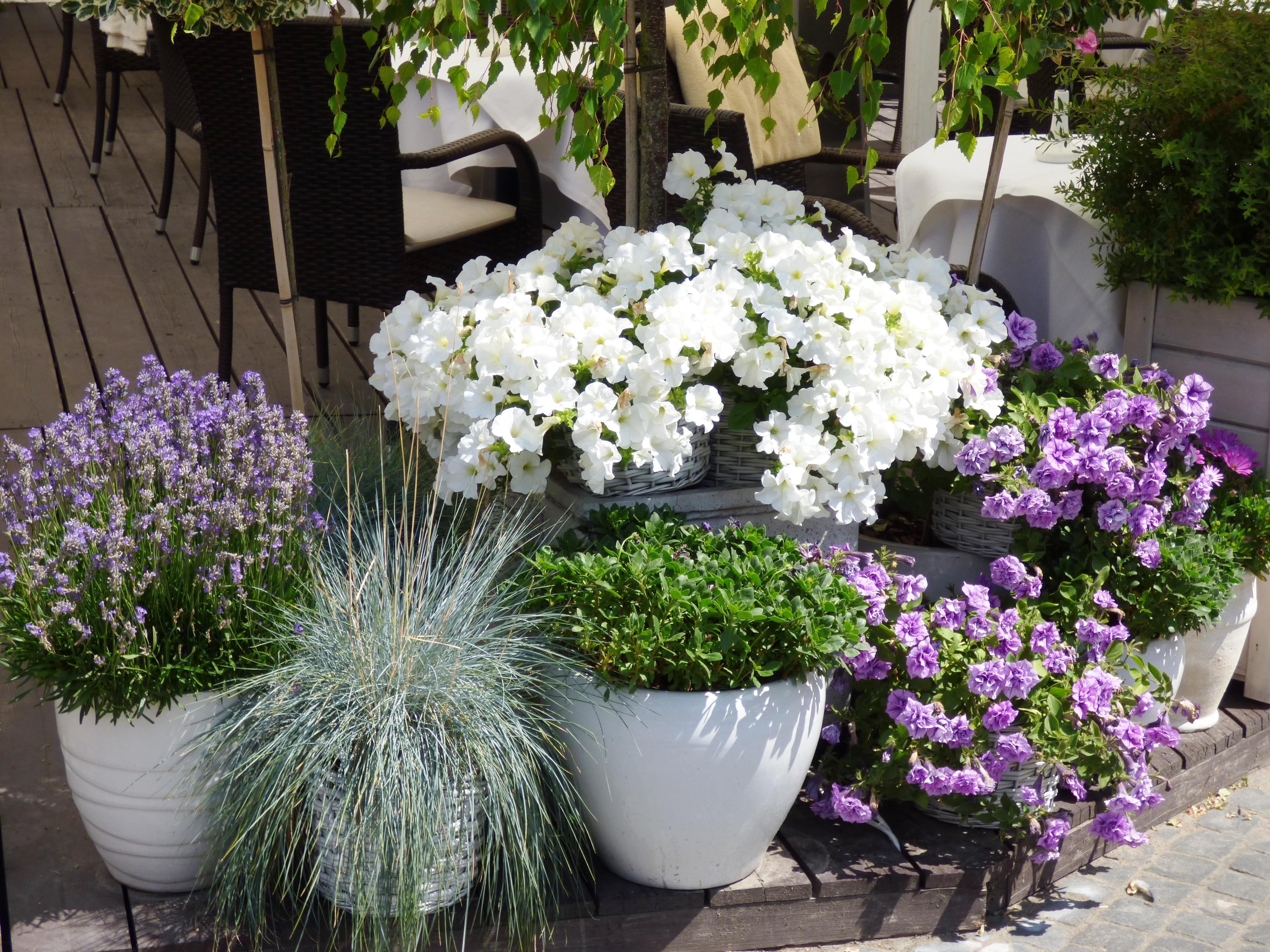 Free Images : nature, backyard, garden, flora, hydrangea ...