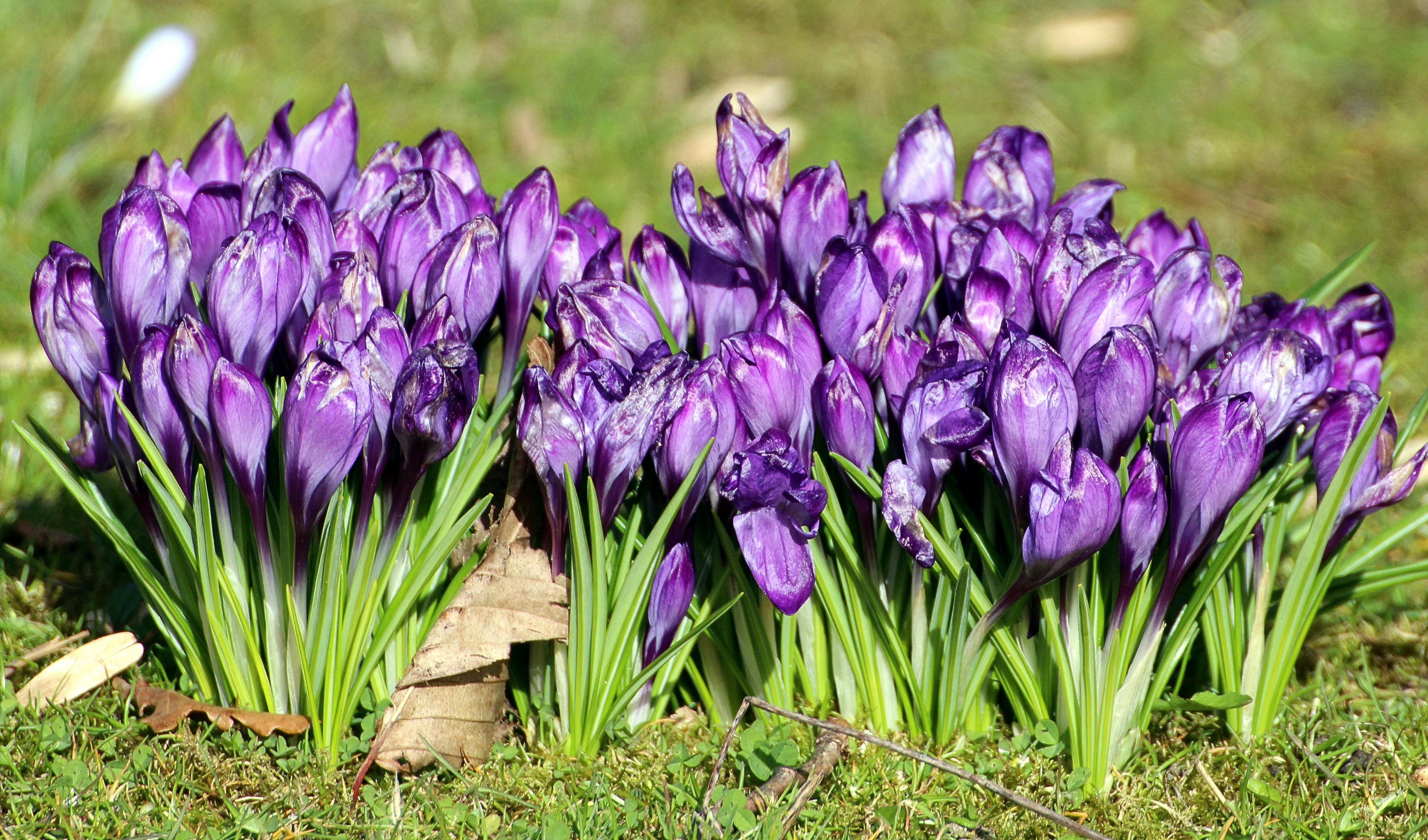 Free images nature flower purple bloom spring garden flowers nature plant flower purple bloom spring garden flowers iris crocus iridaceae hyacinth early bloomer ornamental plants mightylinksfo Gallery