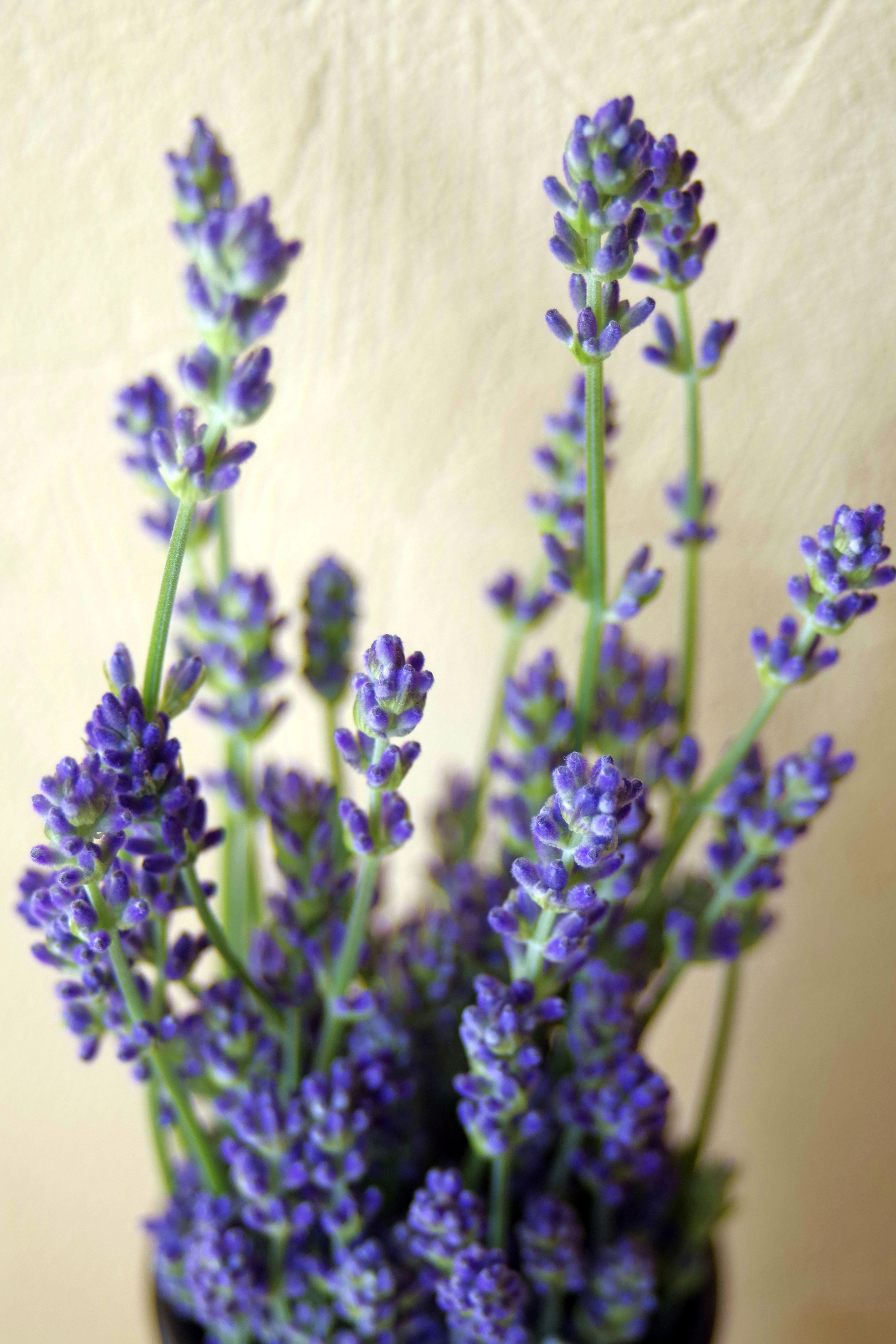 Free Images : nature, decoration, herb, botany, blue, flora ...