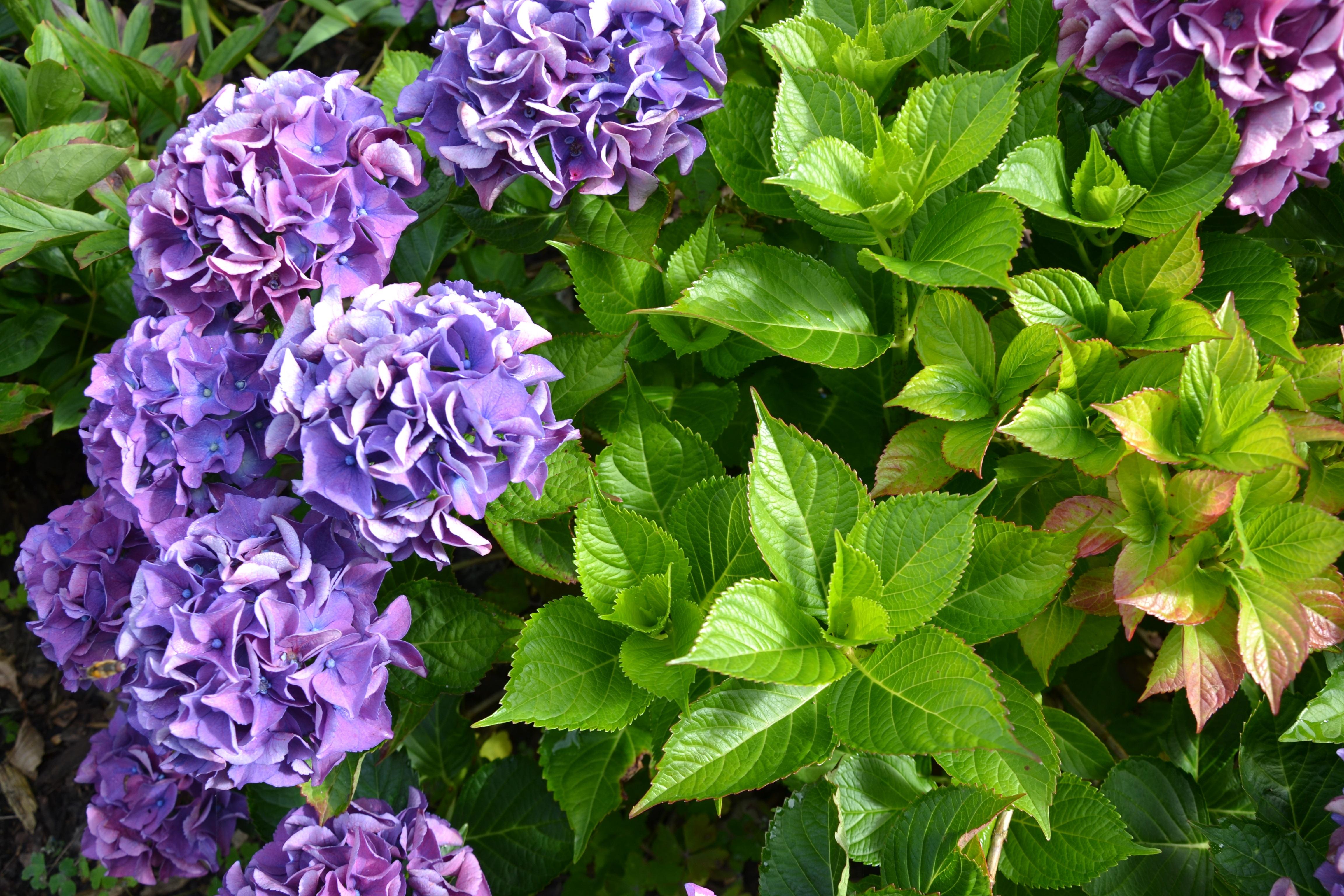 garten blumen lila, kostenlose foto : natur, grün, herbst, botanik, garten, schließen, Design ideen