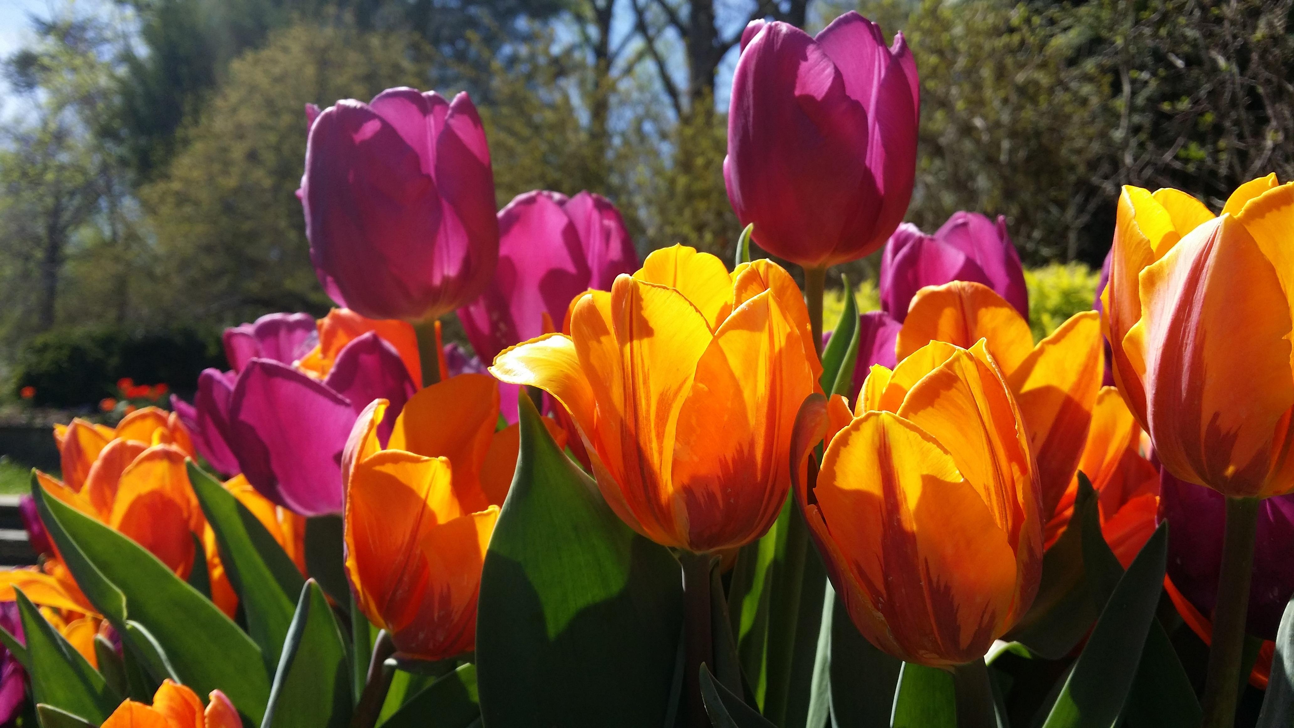 Free Images : nature, flower, purple, petal, bloom, floral, tulip ...
