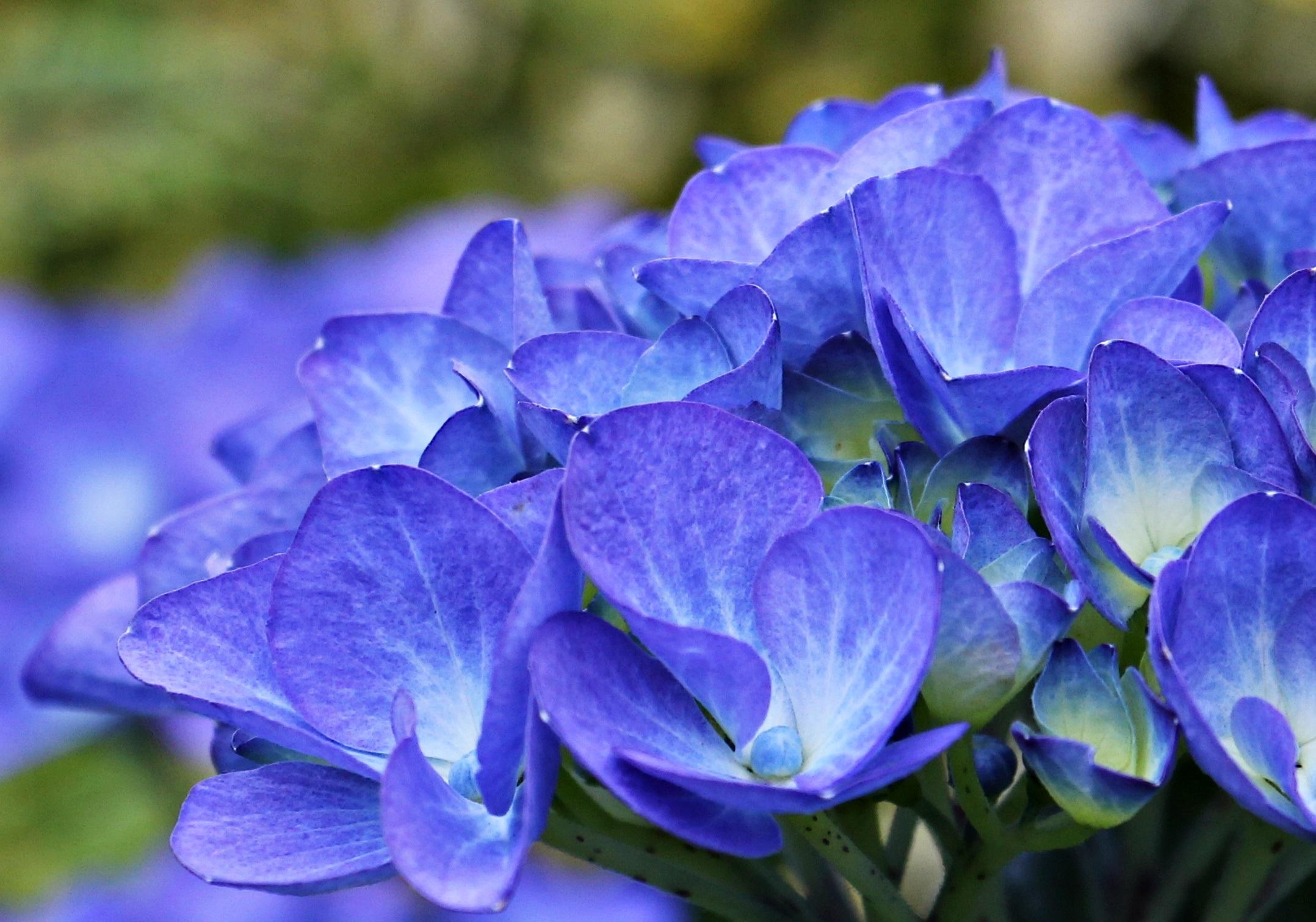 Free Images Nature Purple Petal Garden Flora Ornamental Shrub