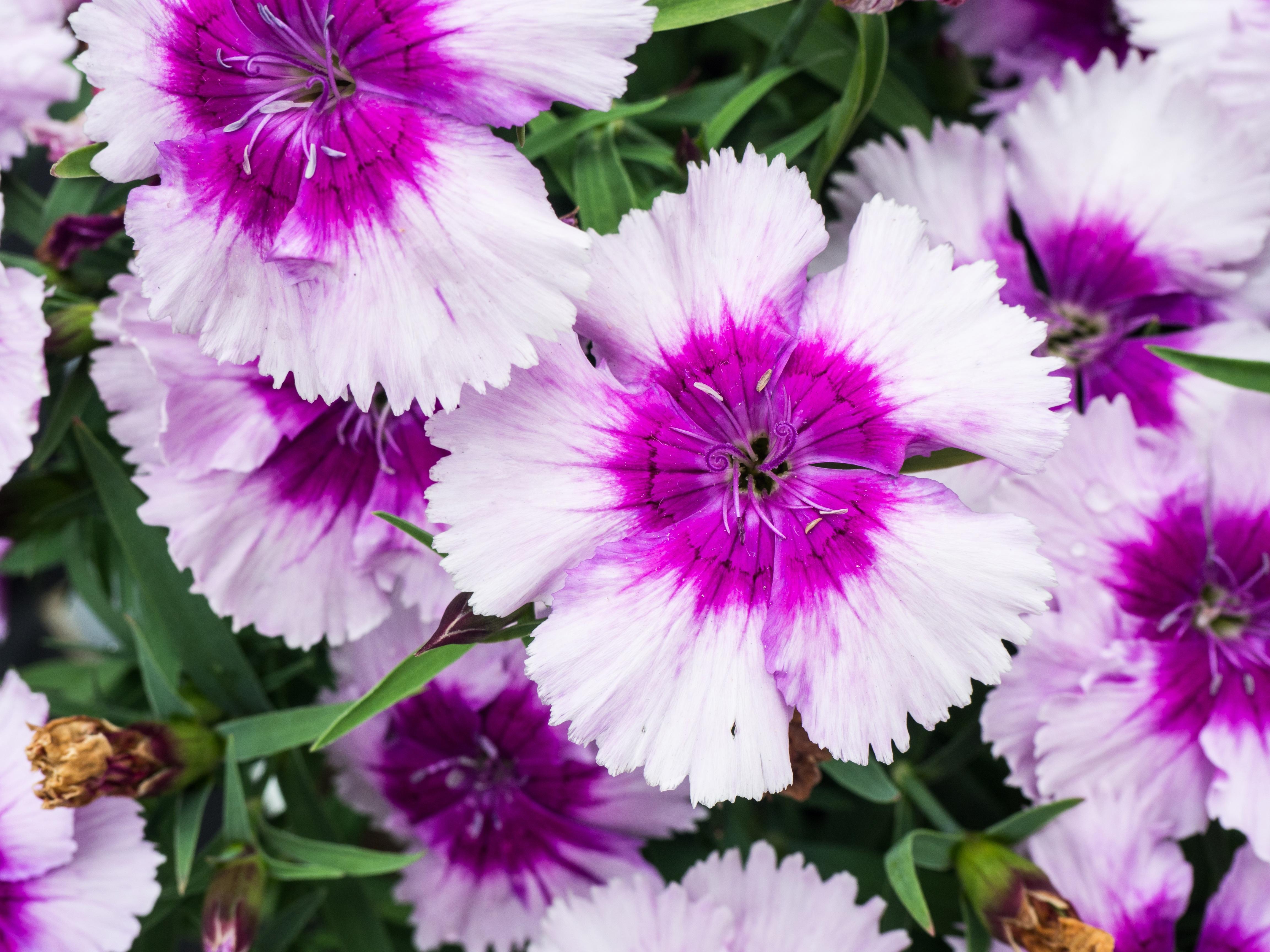 Gambar Alam Menanam Ungu Daun Bunga Taman Flora Bunga Bunga Anyelir Dianthus Tanaman Berbunga Tanaman Tahunan Tanaman Tanah Keluarga Merah Muda 4608x3456 1067936 Galeri Foto Pxhere