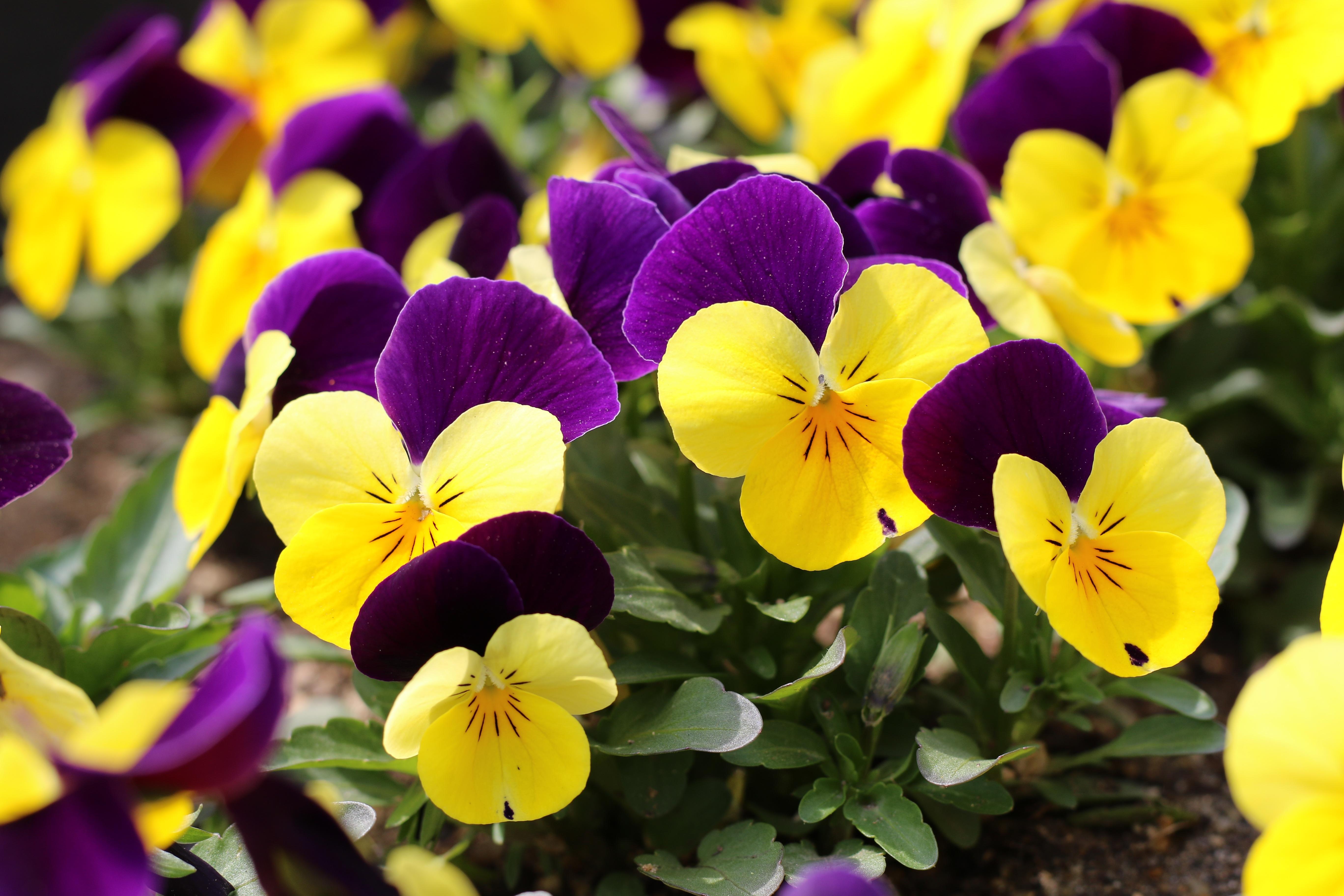 Images gratuites la nature fleur violet p tale parc botanique jaune flore les plantes - Image fleur violette gratuite ...