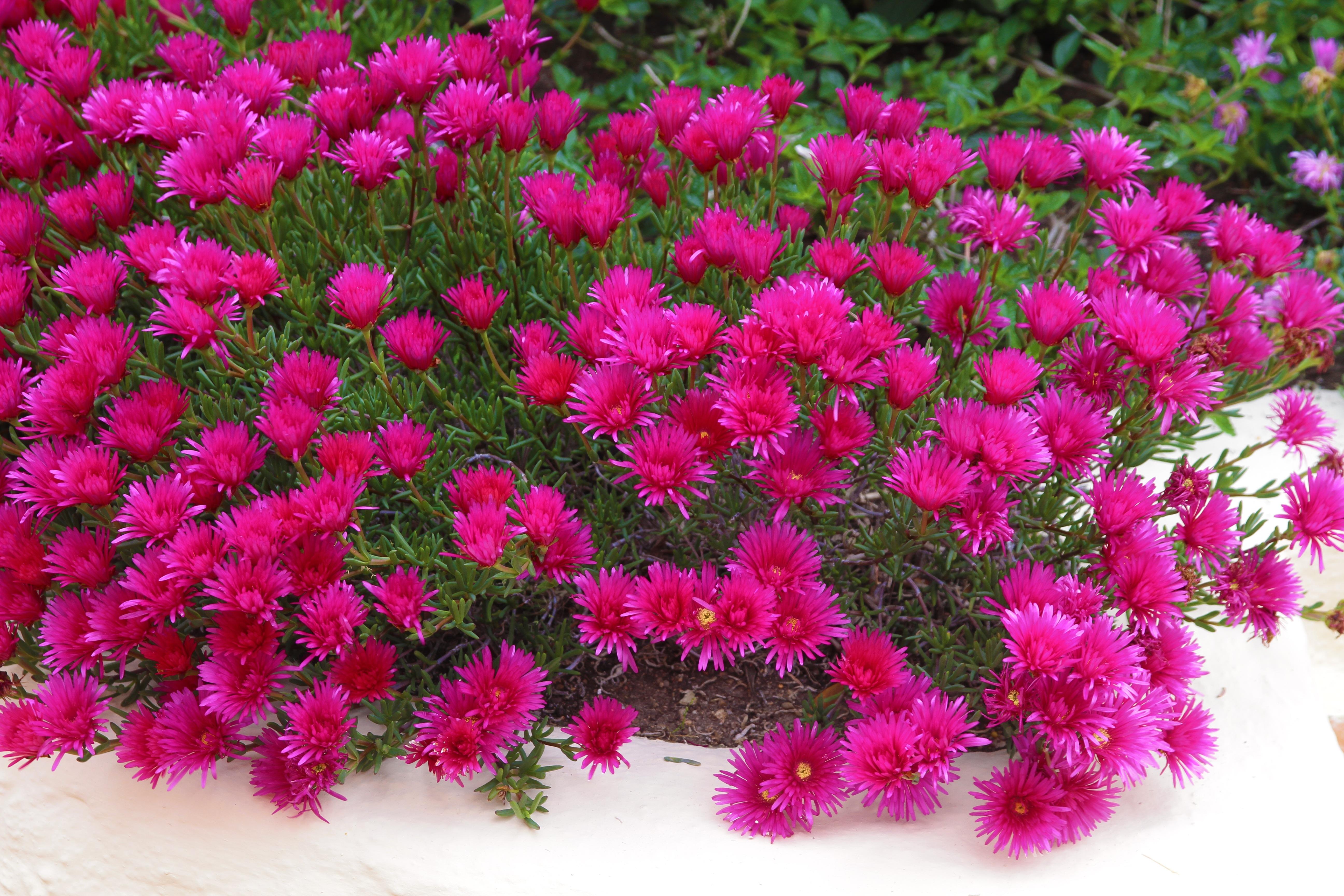 free images nature petal spring red italy close flora bed shrub carnation blossoms. Black Bedroom Furniture Sets. Home Design Ideas