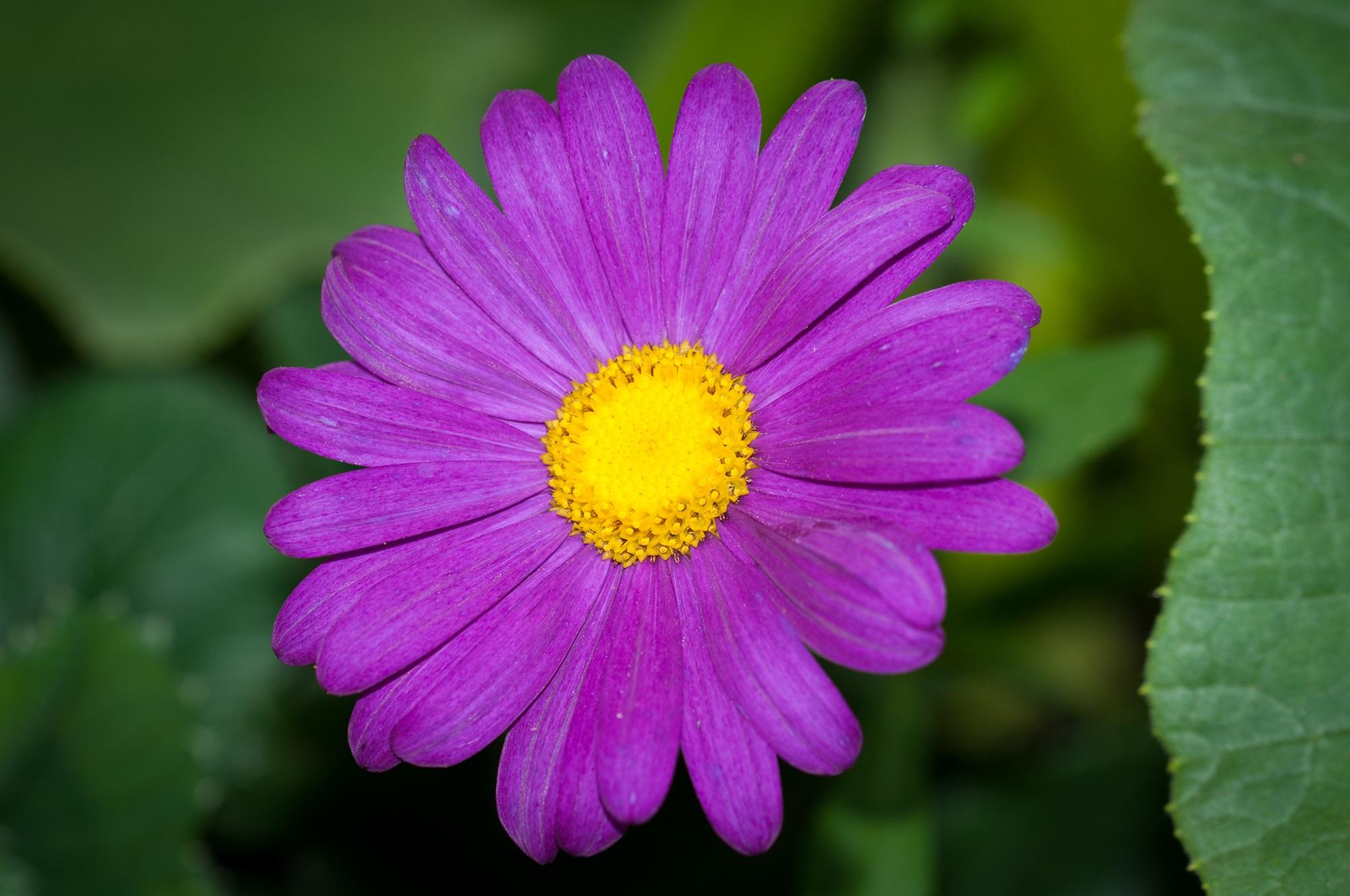 Images gratuites la nature fleur violet p tale t - Image fleur violette ...