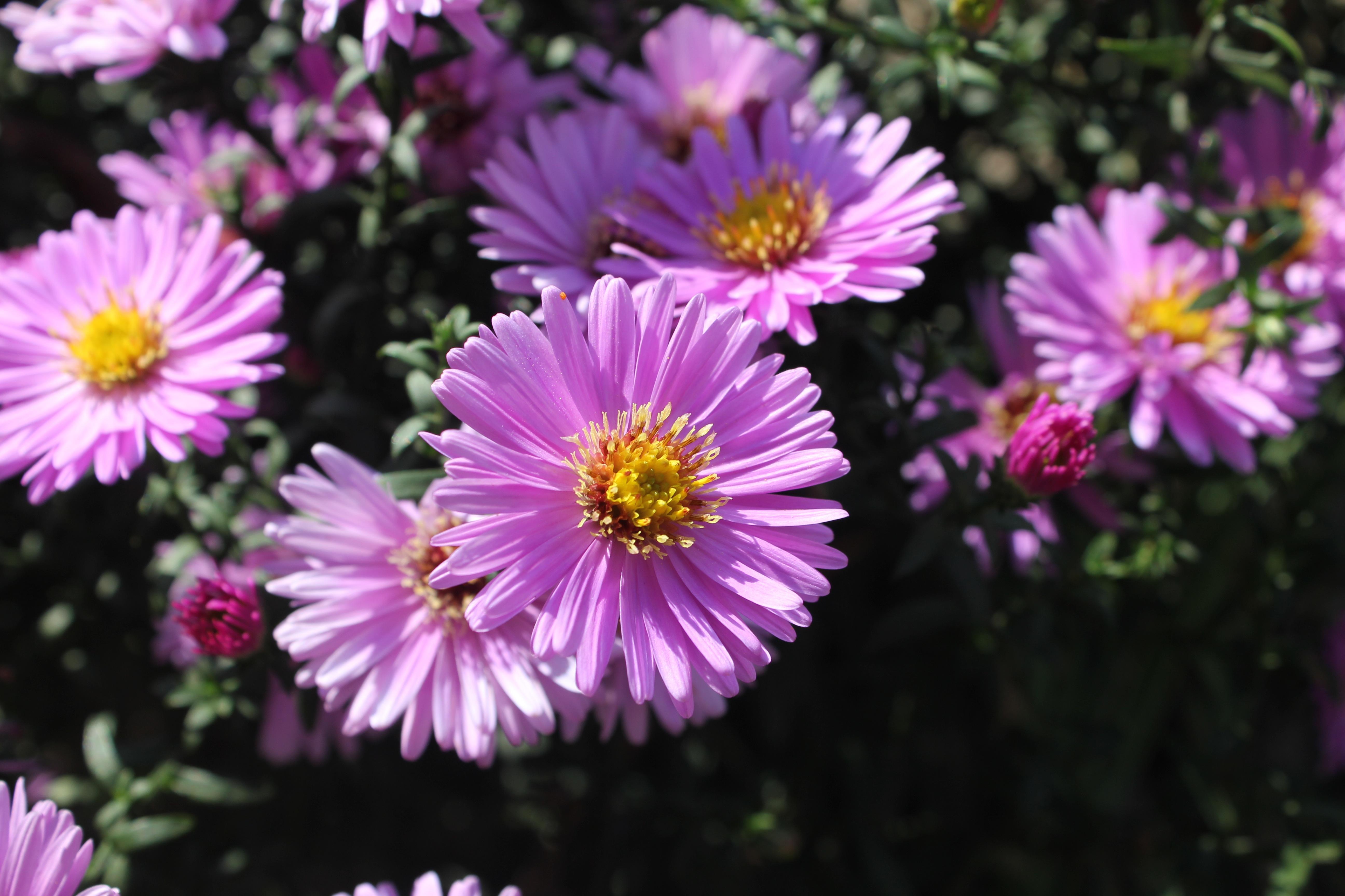Free Images Nature Petal Summer Flora Purple Flowers Violet
