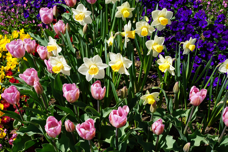 тюльпаны клумба  № 1349380 загрузить