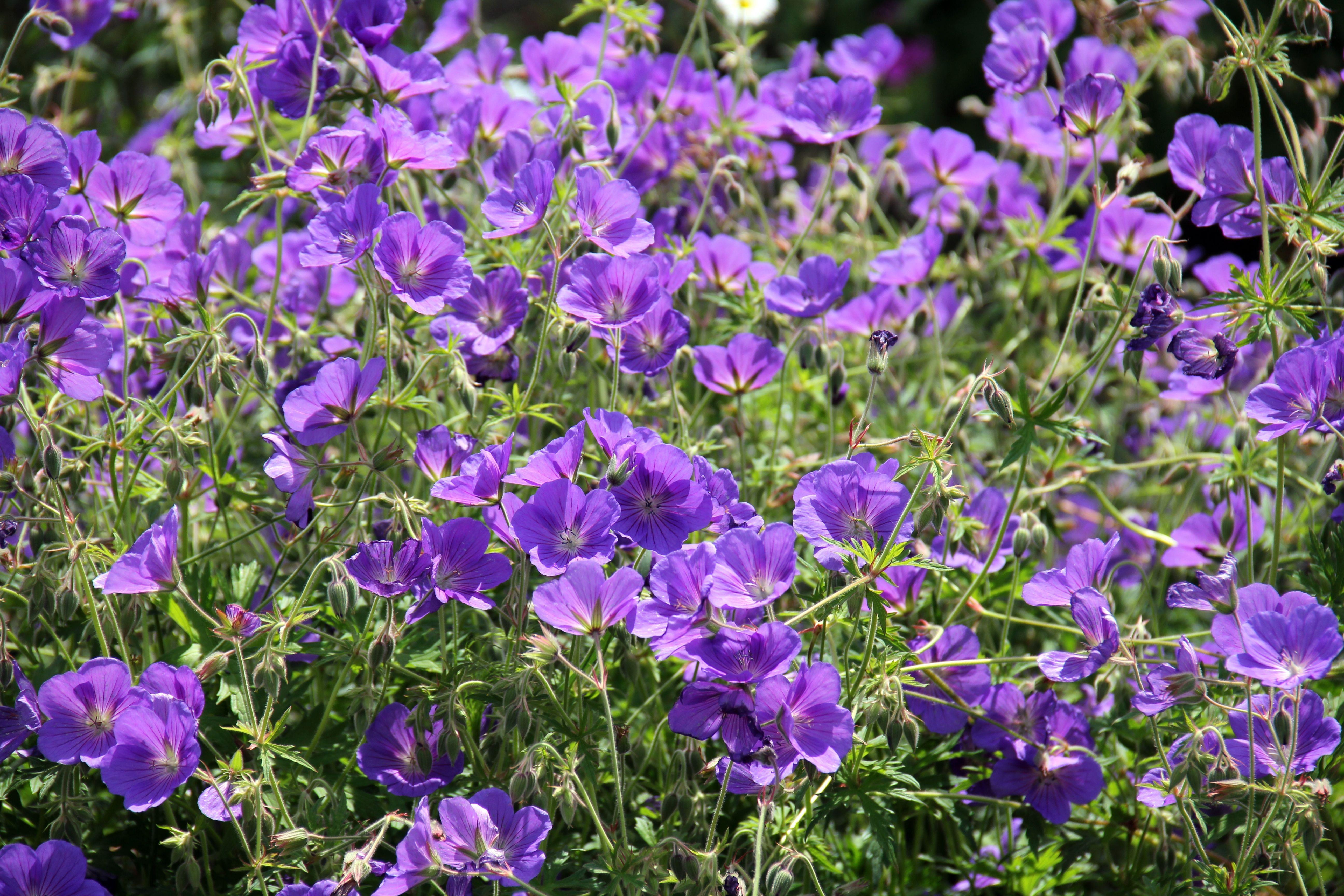 Gratis billeder : natur, blomst, lilla, wildflower, blomster, geranium, viola, storkenæb ...