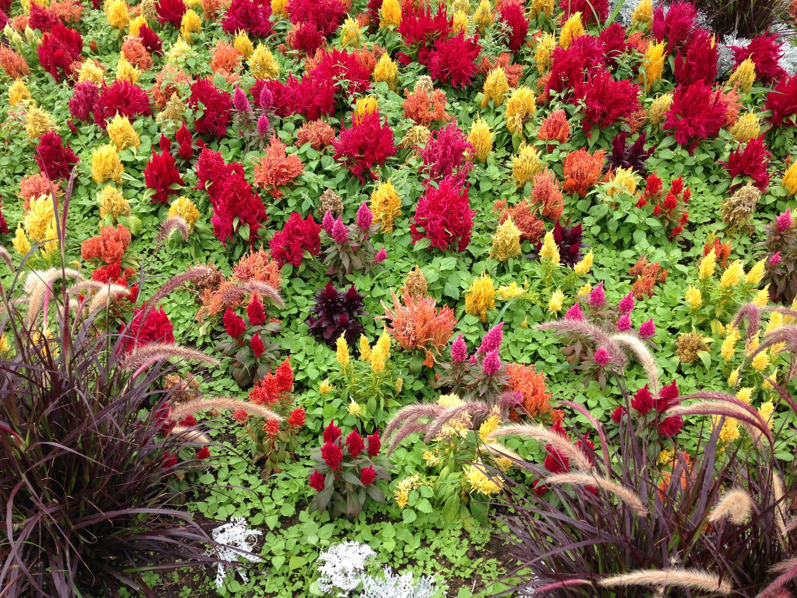 Gratis billeder : natur, blomst, rød, urt, farve, botanik, gul, have ...