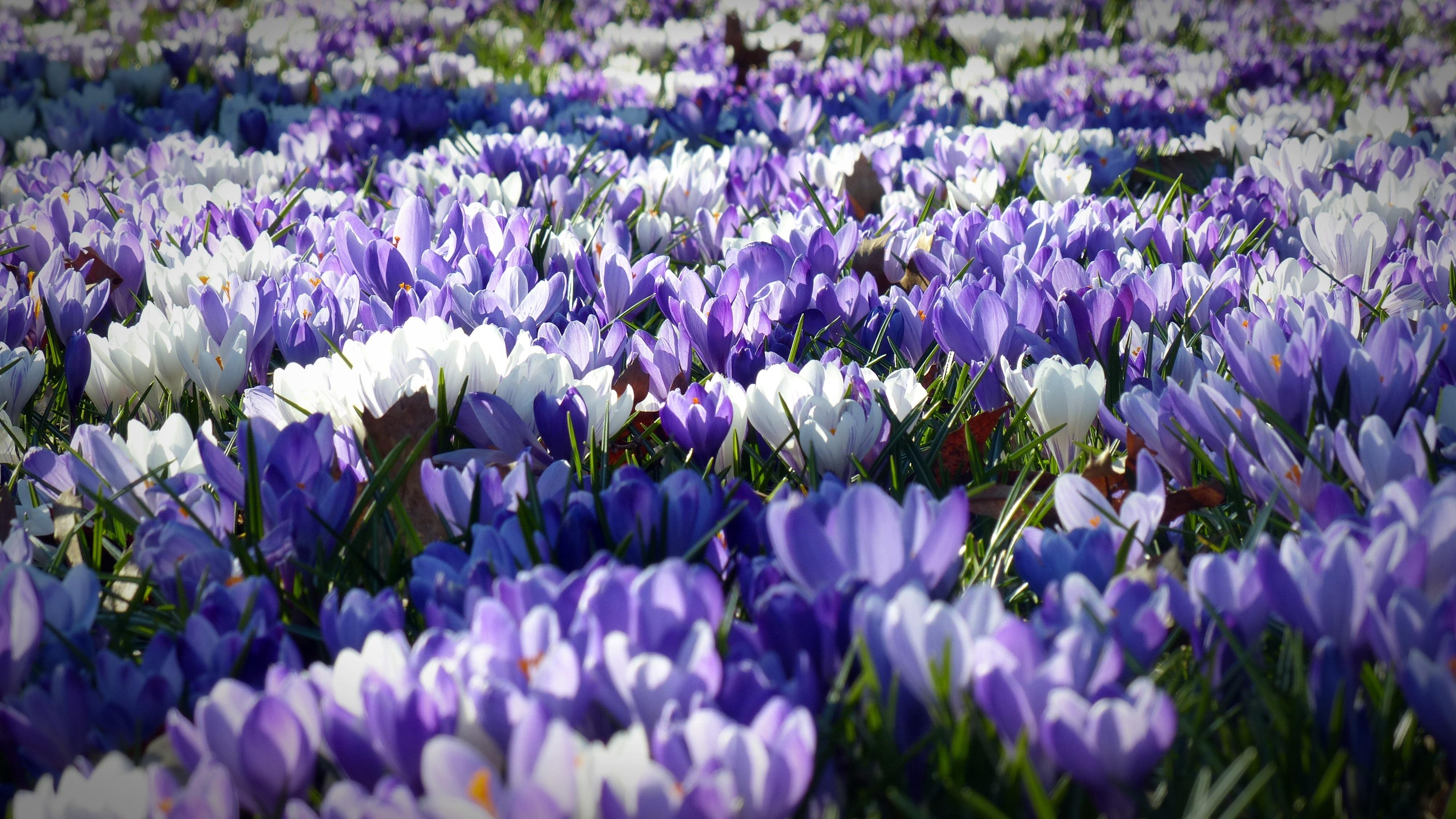 Merveilleux Nature Plant Flower Spring Garden Flowers Crocus Spring Flower Flowering  Plant Sea Of Flowers Early Left