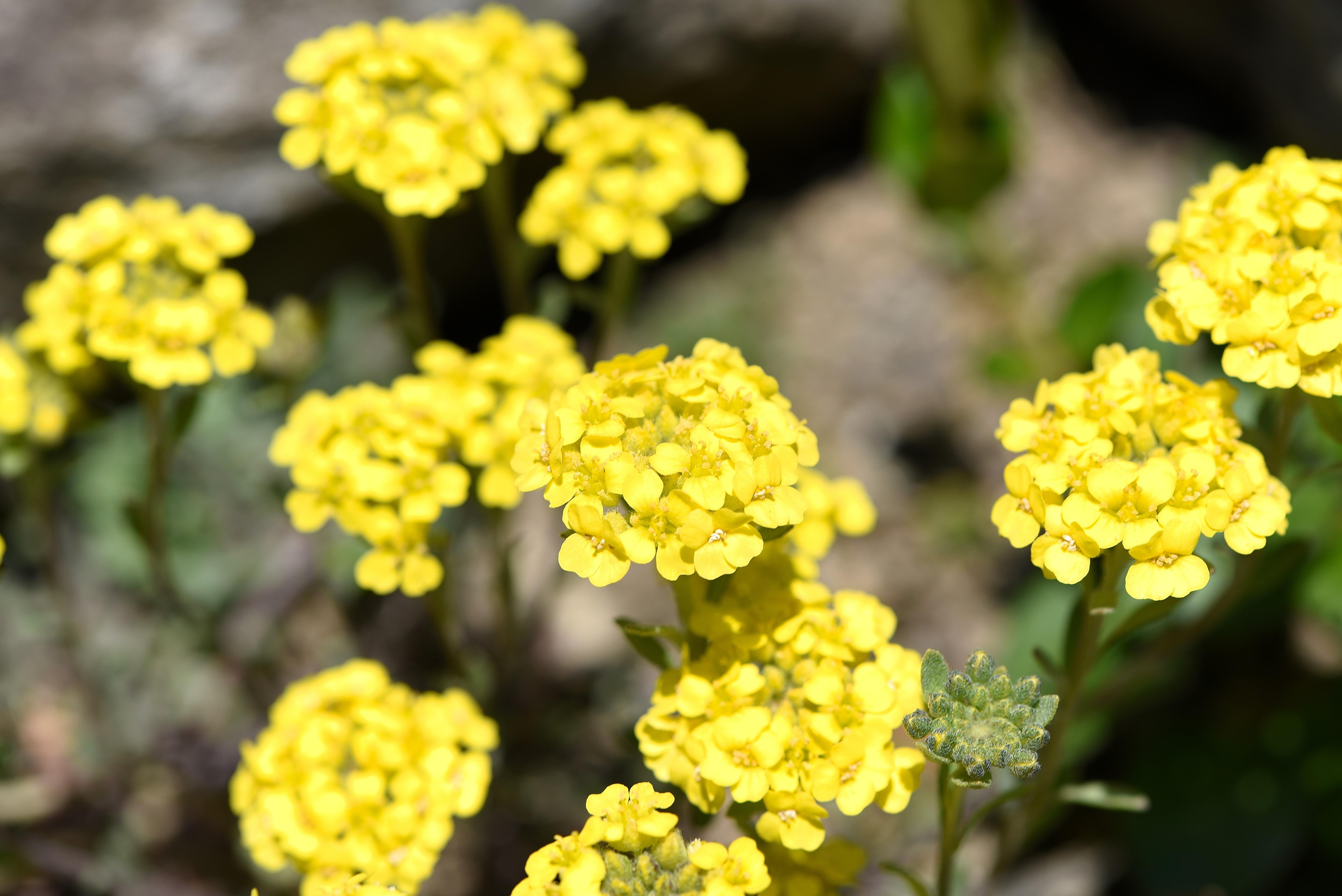 Fleurs sauvages de printemps jaunes - Arbuste floraison printaniere jaune ...