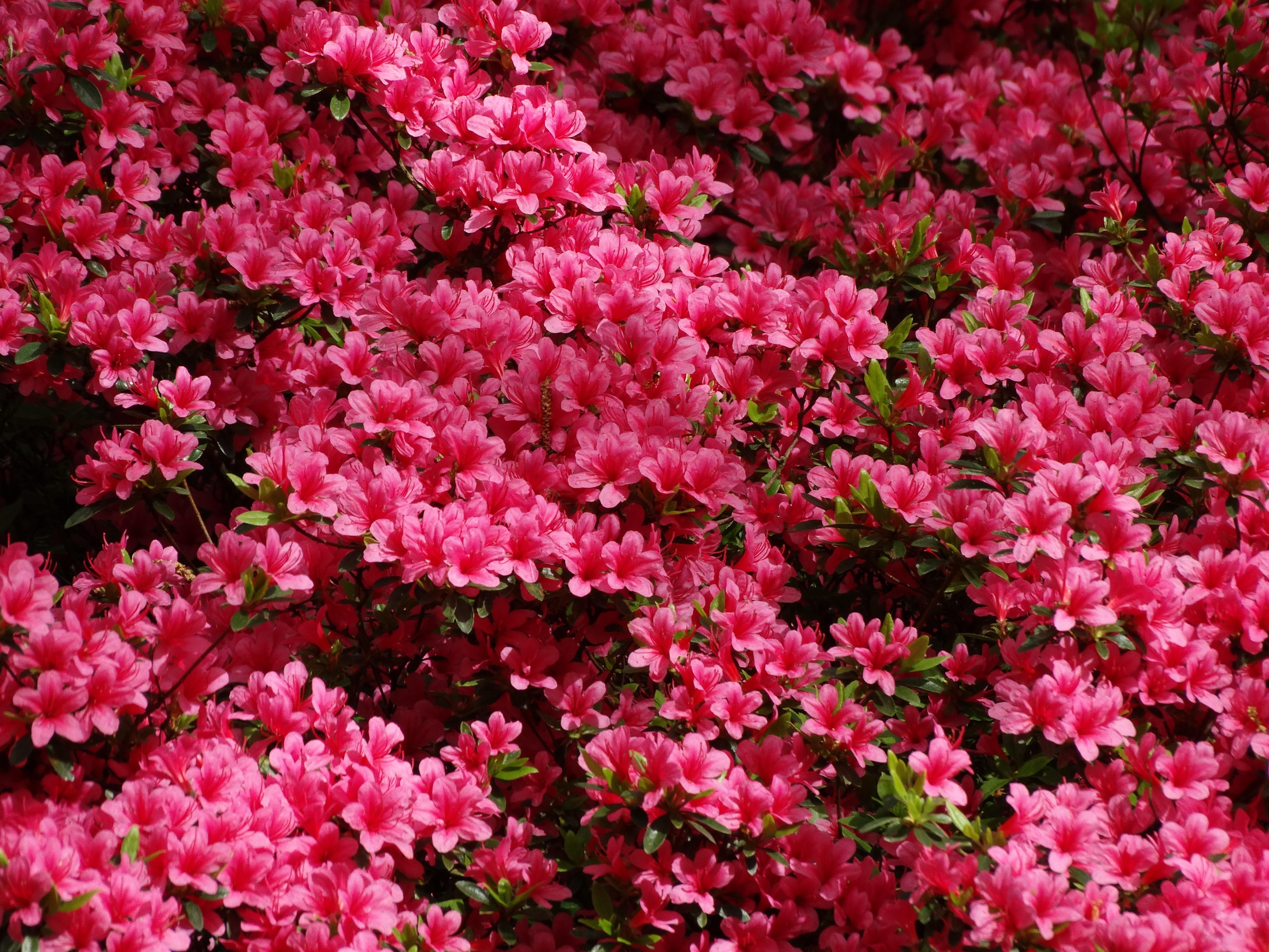 найти куст с розовыми цветочками фото бузова перешла