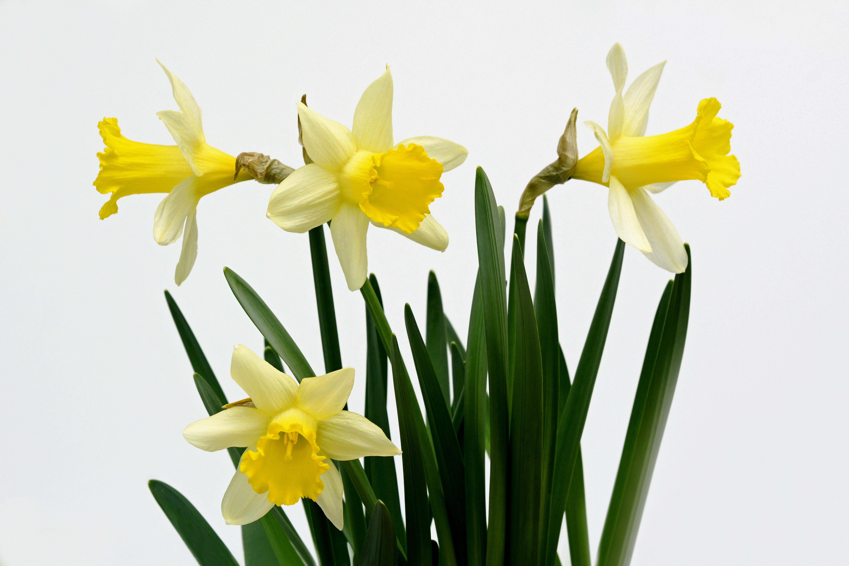 la nature plante fleur printemps jaune jonquille flore fleurs jonquilles narcisse fleurs de printemps prnom du - Fleur Jonquille