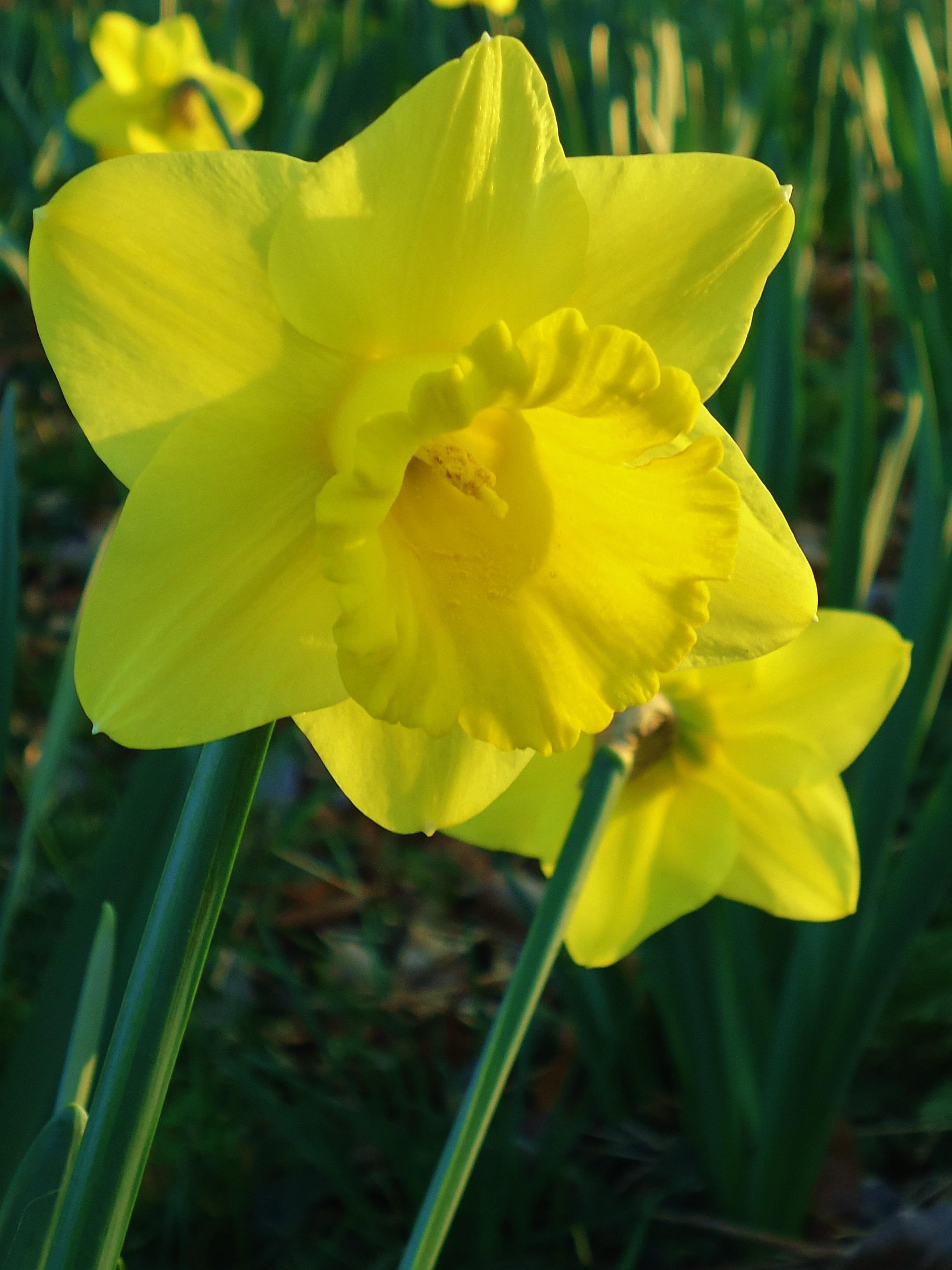 Immagini belle natura fiore primavera giallo narciso for Narciso giallo