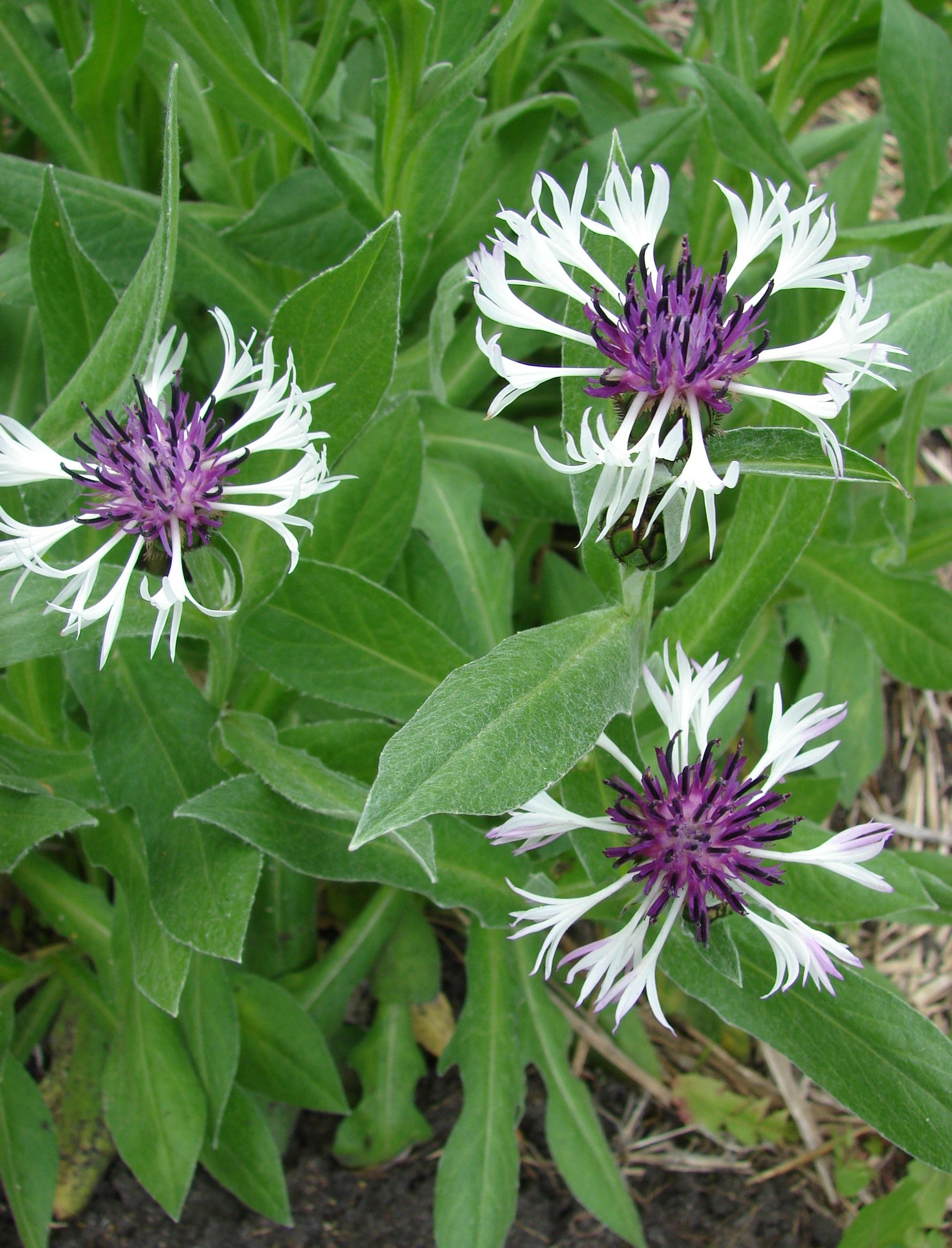 Nature Plant Flower Summer Herb Produce Botany Garden Flora Plants Aster  Thistle Centaurea Botanic Flowering Plant