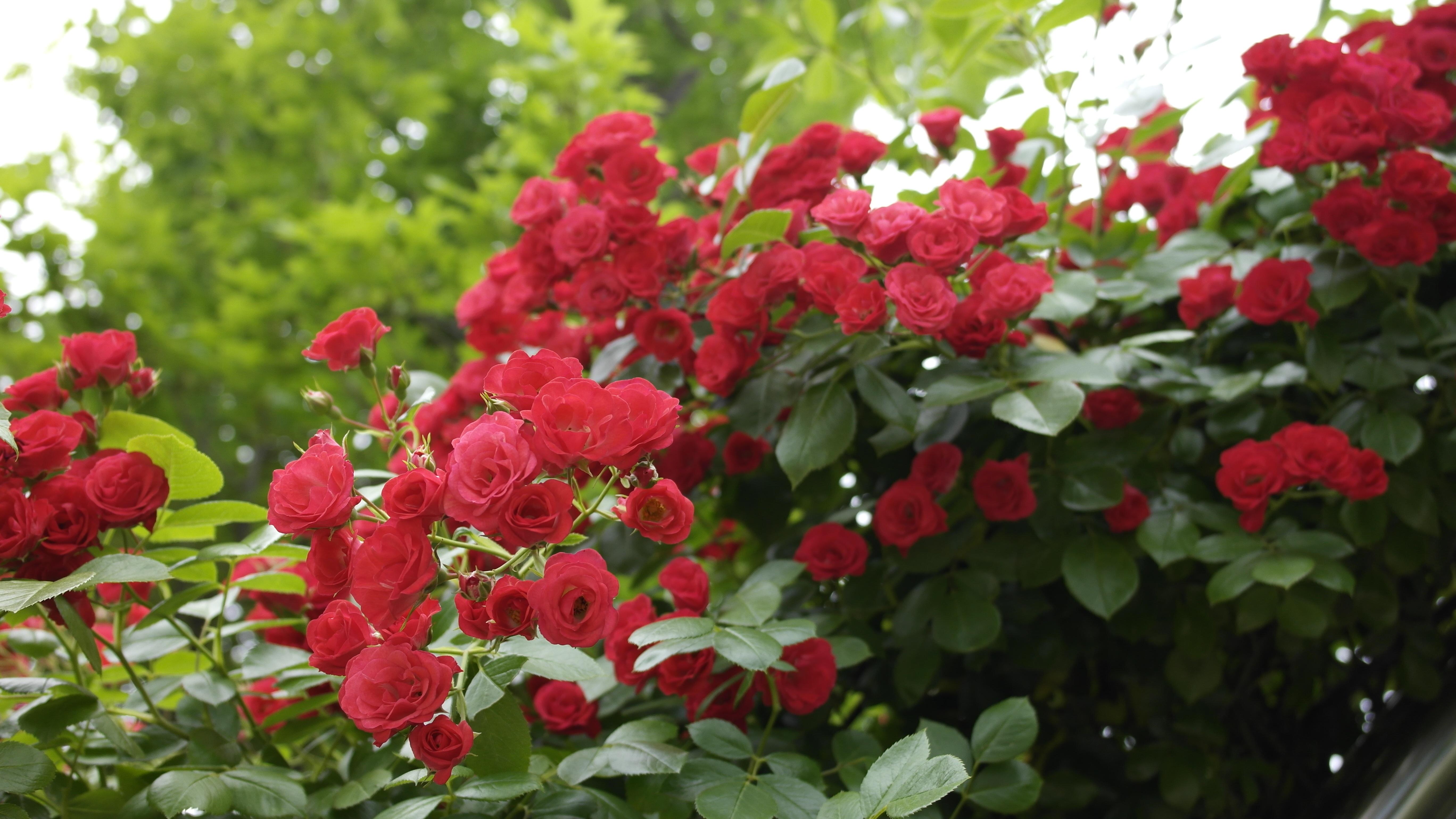 Fotos gratis naturaleza flor verano rojo plantas for Pianta rosa