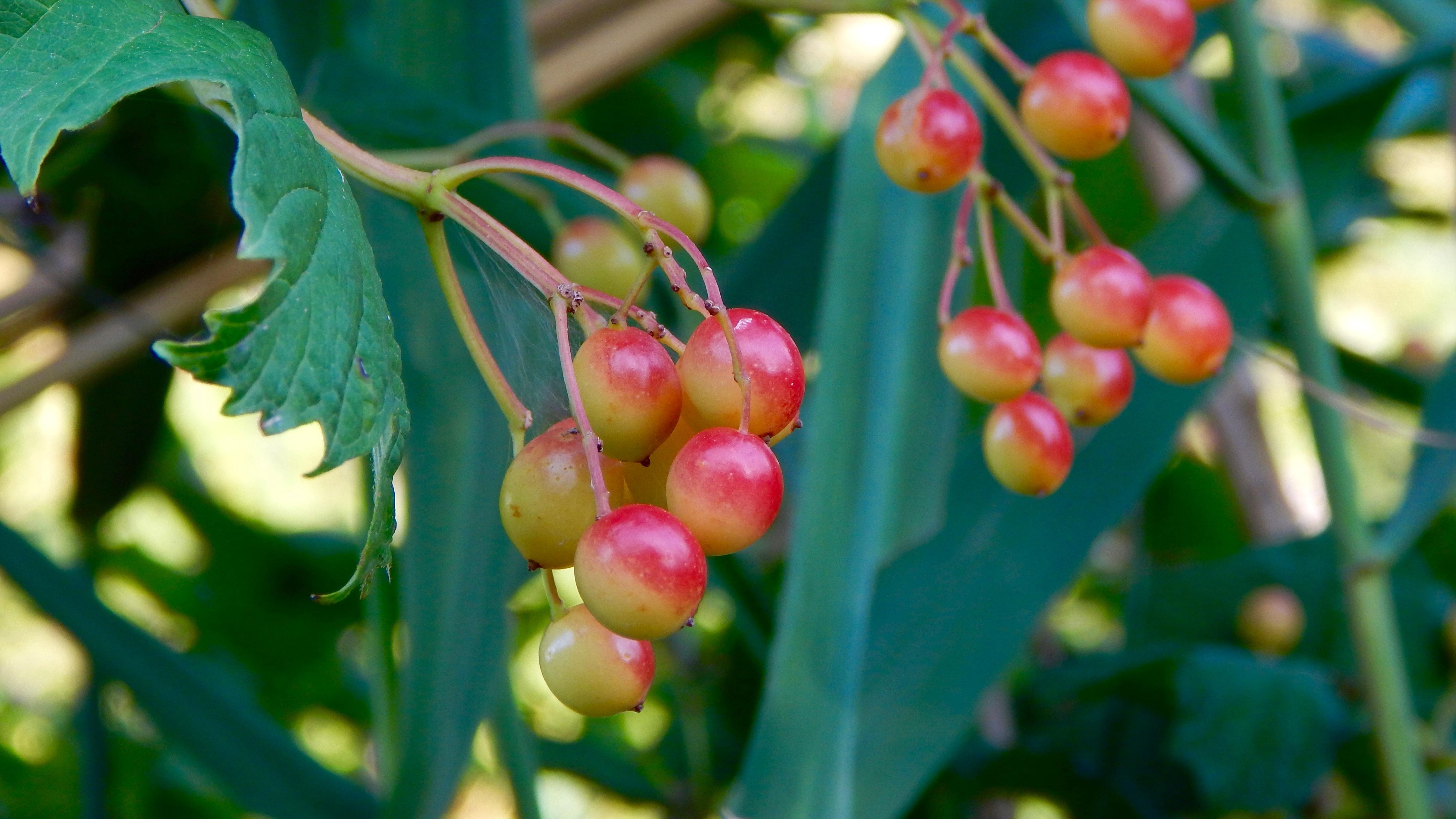 Kostenlose foto : Natur, Frucht, Beere, Blume, Laub, Lebensmittel ...