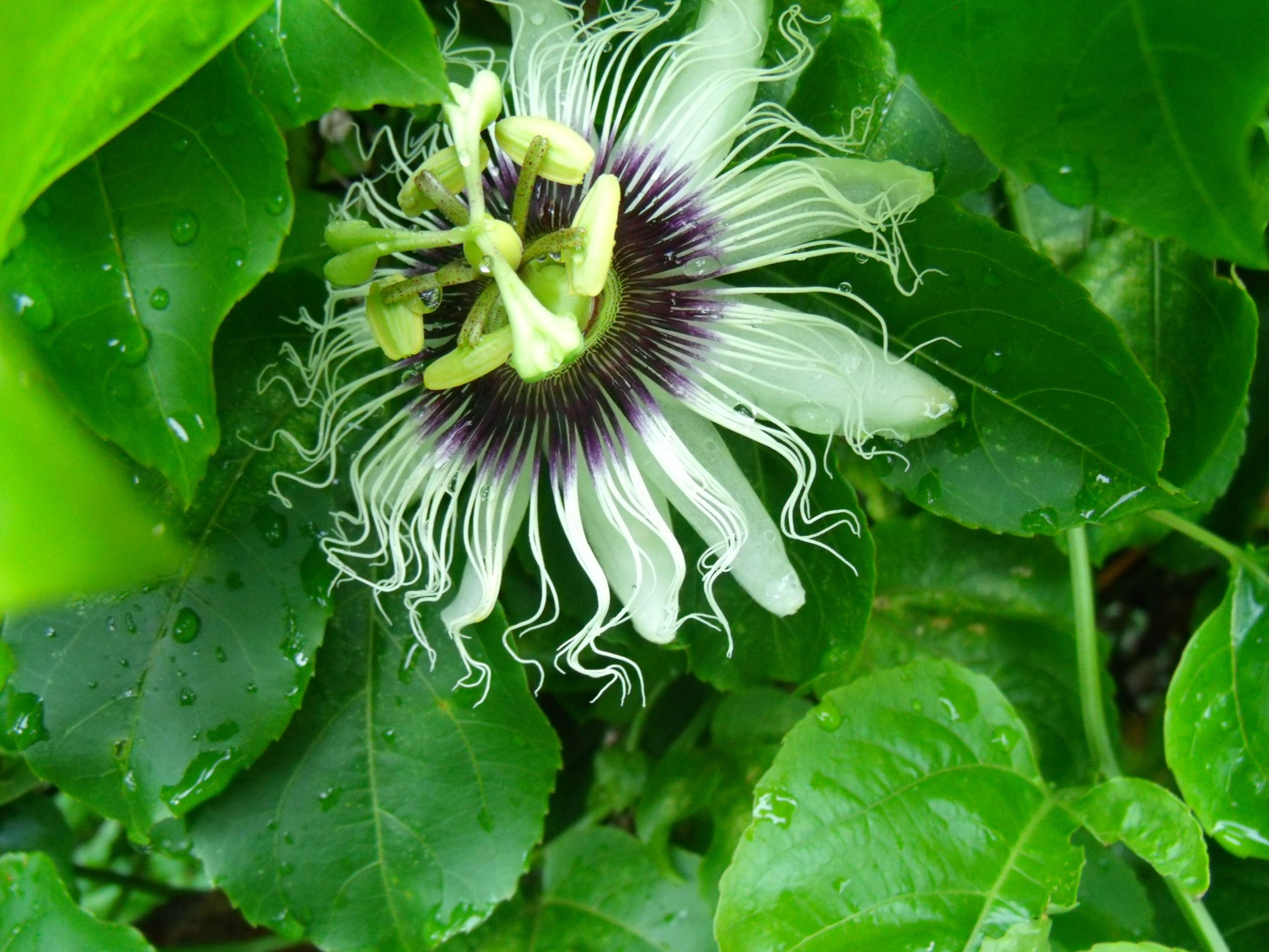 images gratuites la nature p tale vert botanique flore fleur sauvage fermer fruit de la. Black Bedroom Furniture Sets. Home Design Ideas