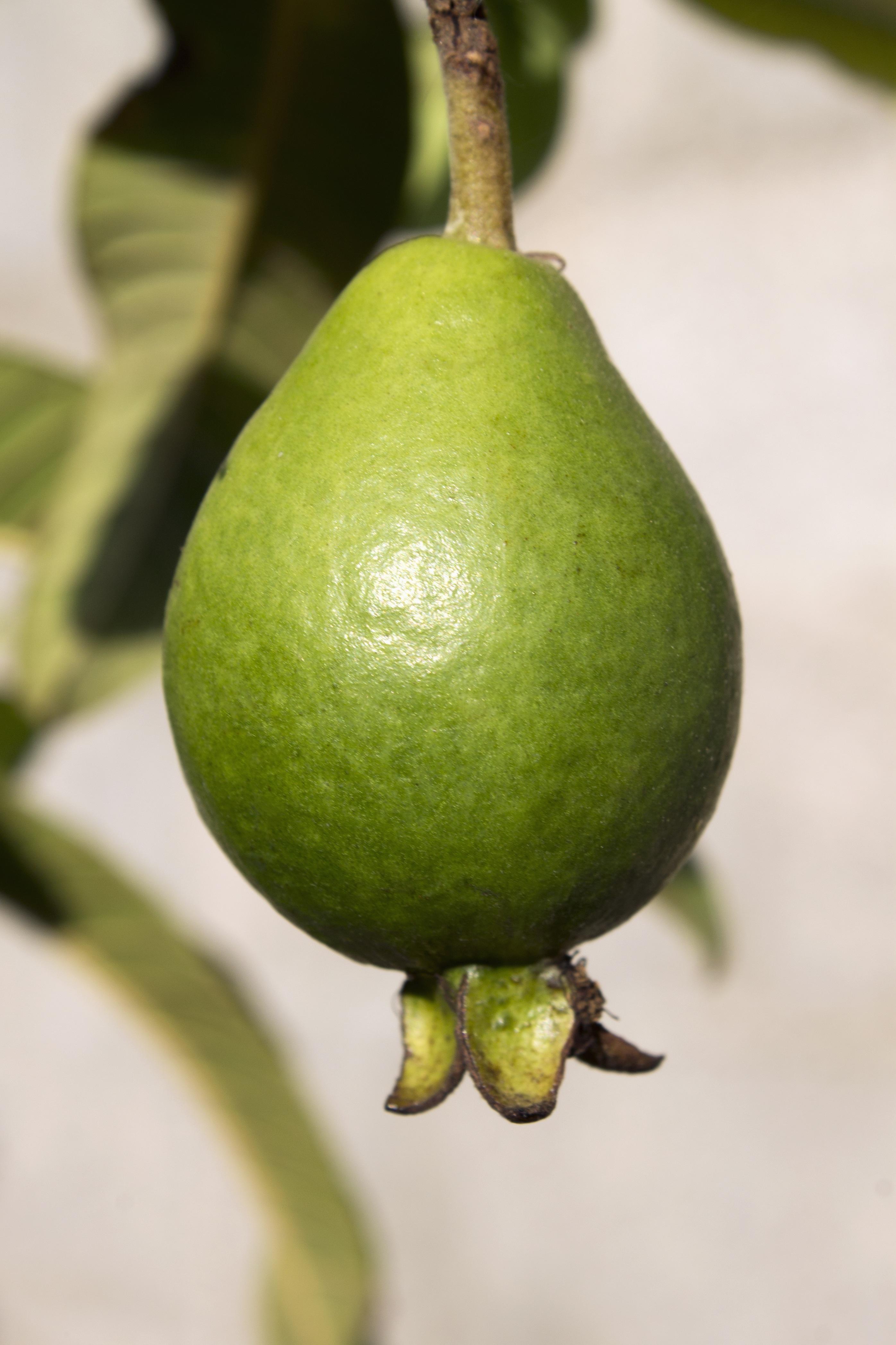 guayaba tree  eBay