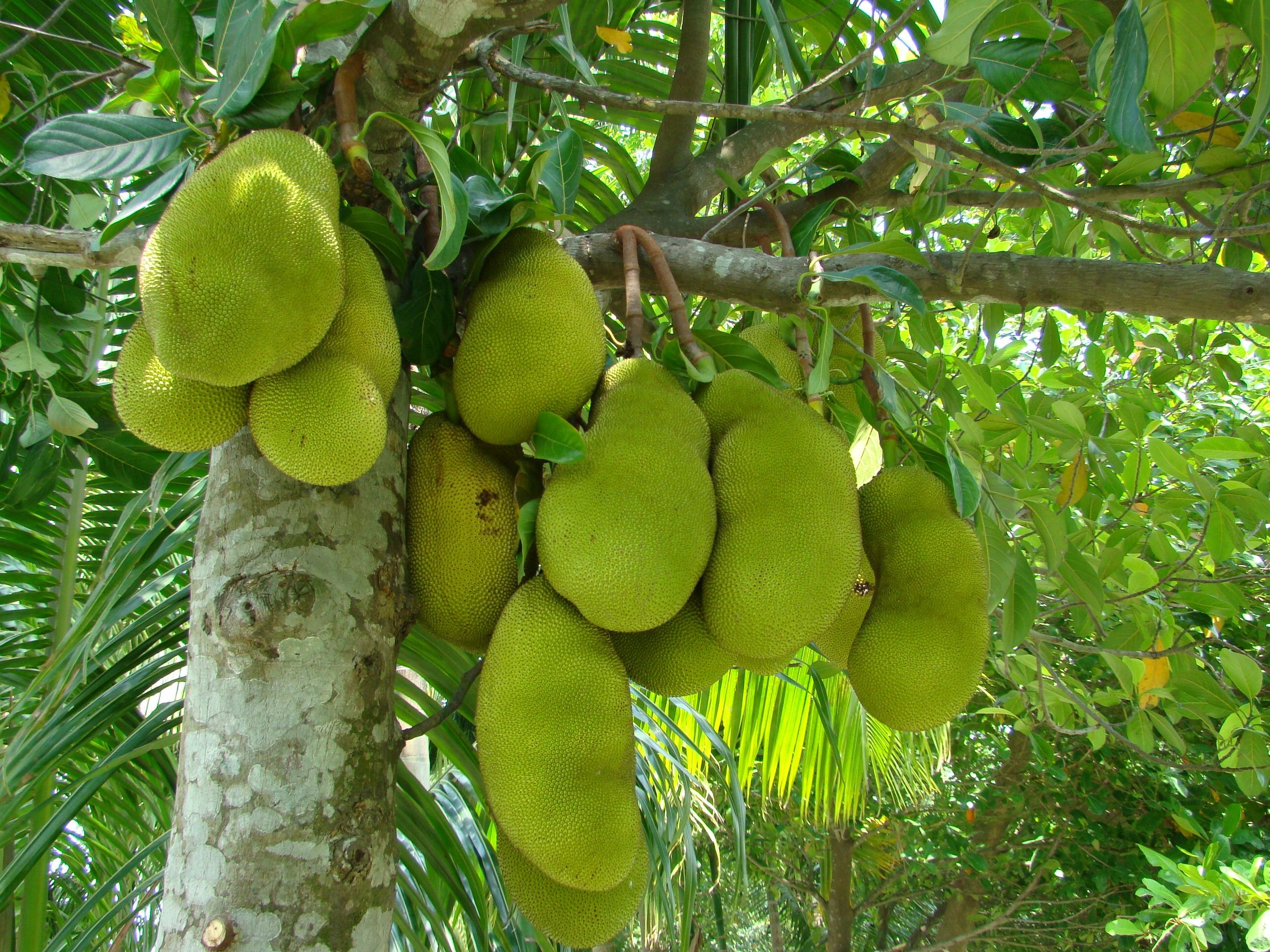jackfruit background history and origin unique fruit