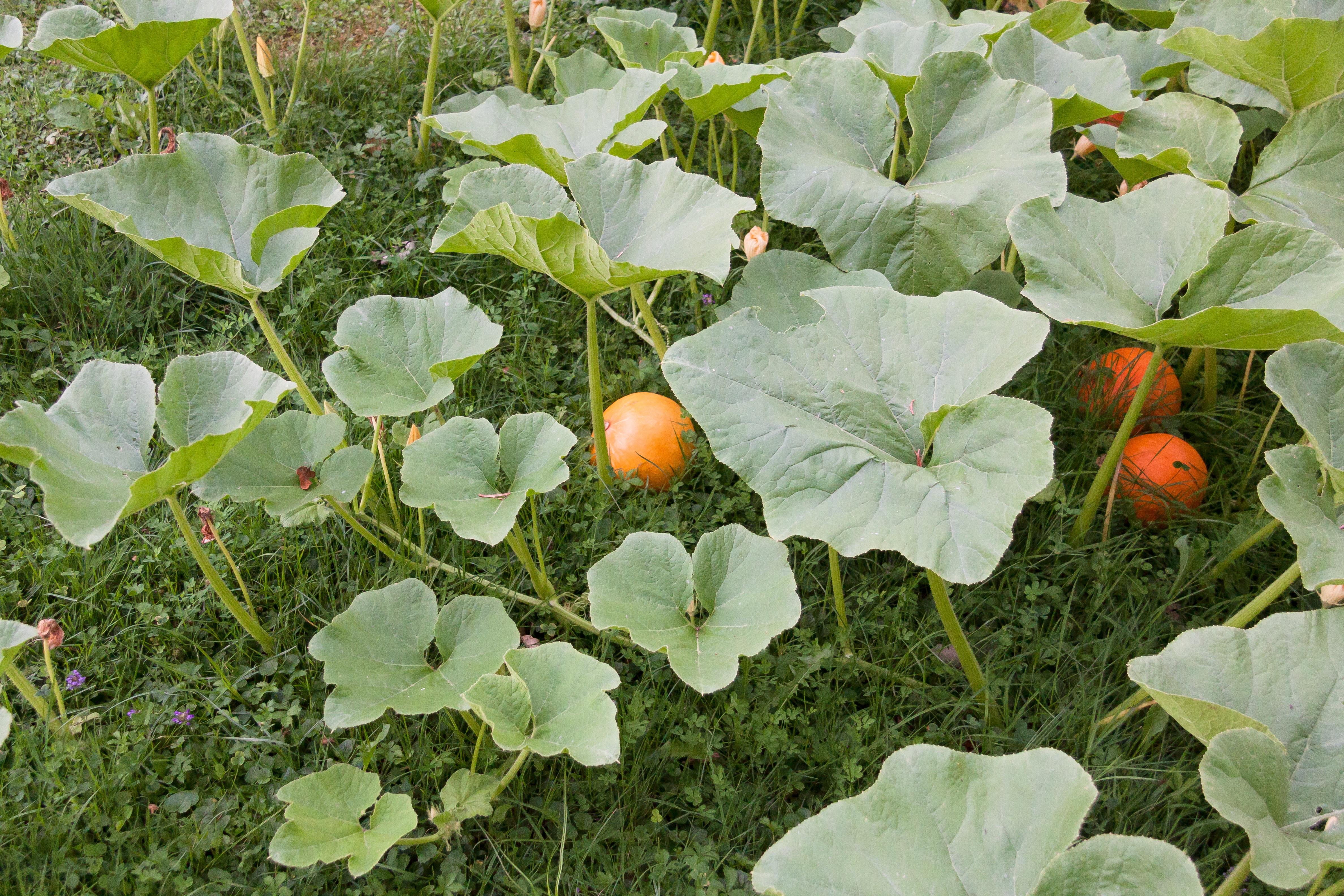 free images nature fruit leaf flower orange food green