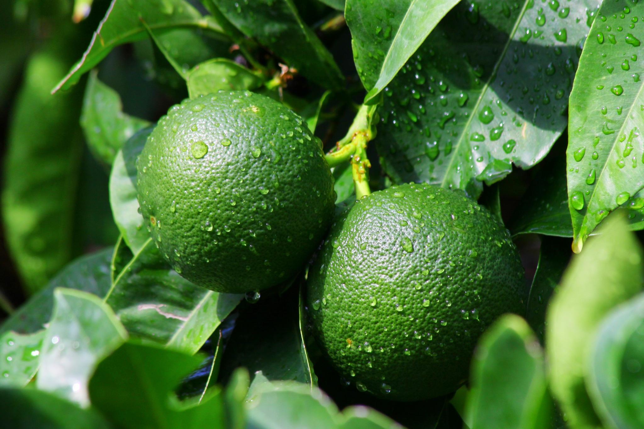 фотографии фрукта лайм без подколов, тостушек