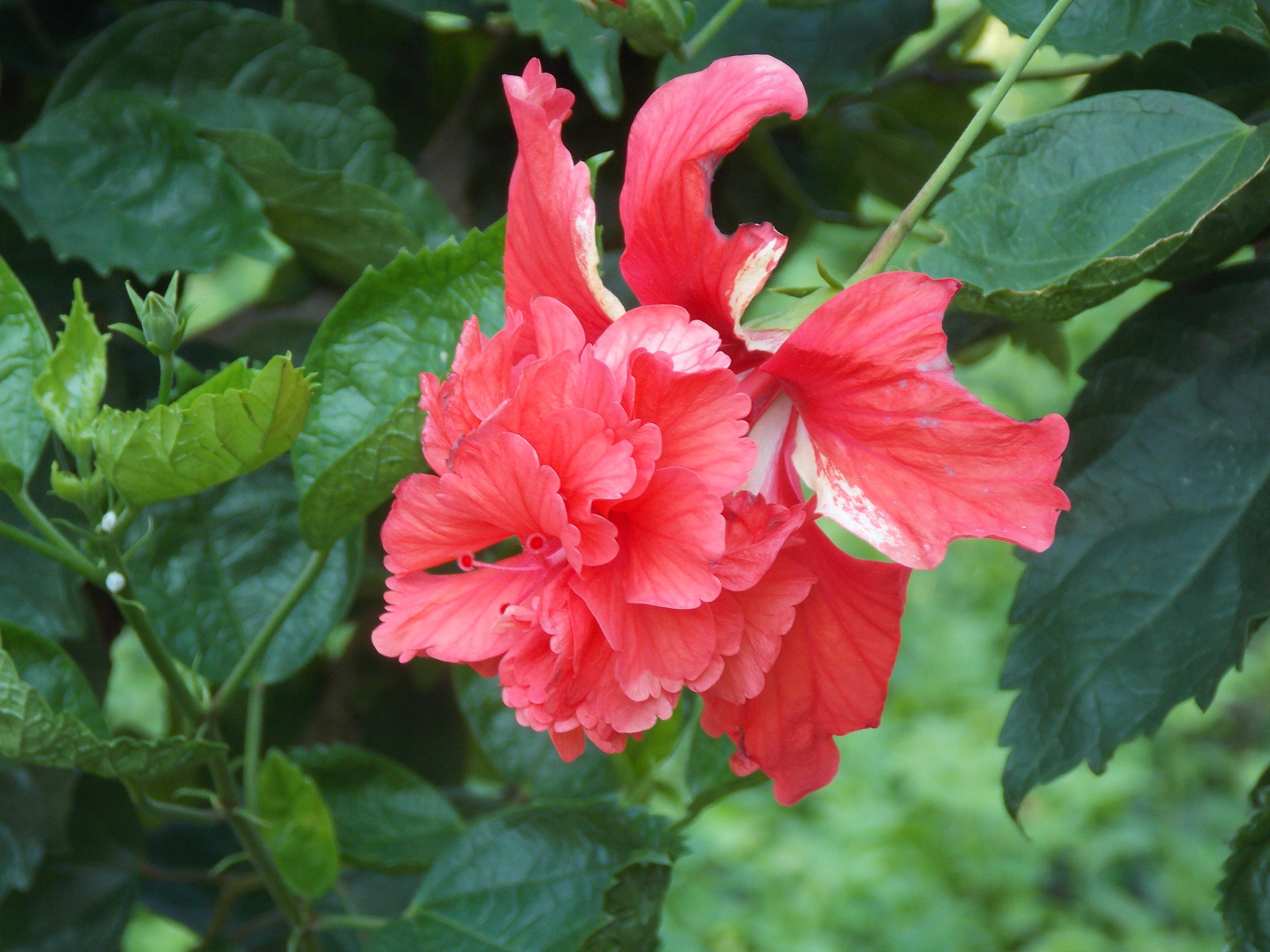 garden spa hibiscus garden ftempo. Black Bedroom Furniture Sets. Home Design Ideas