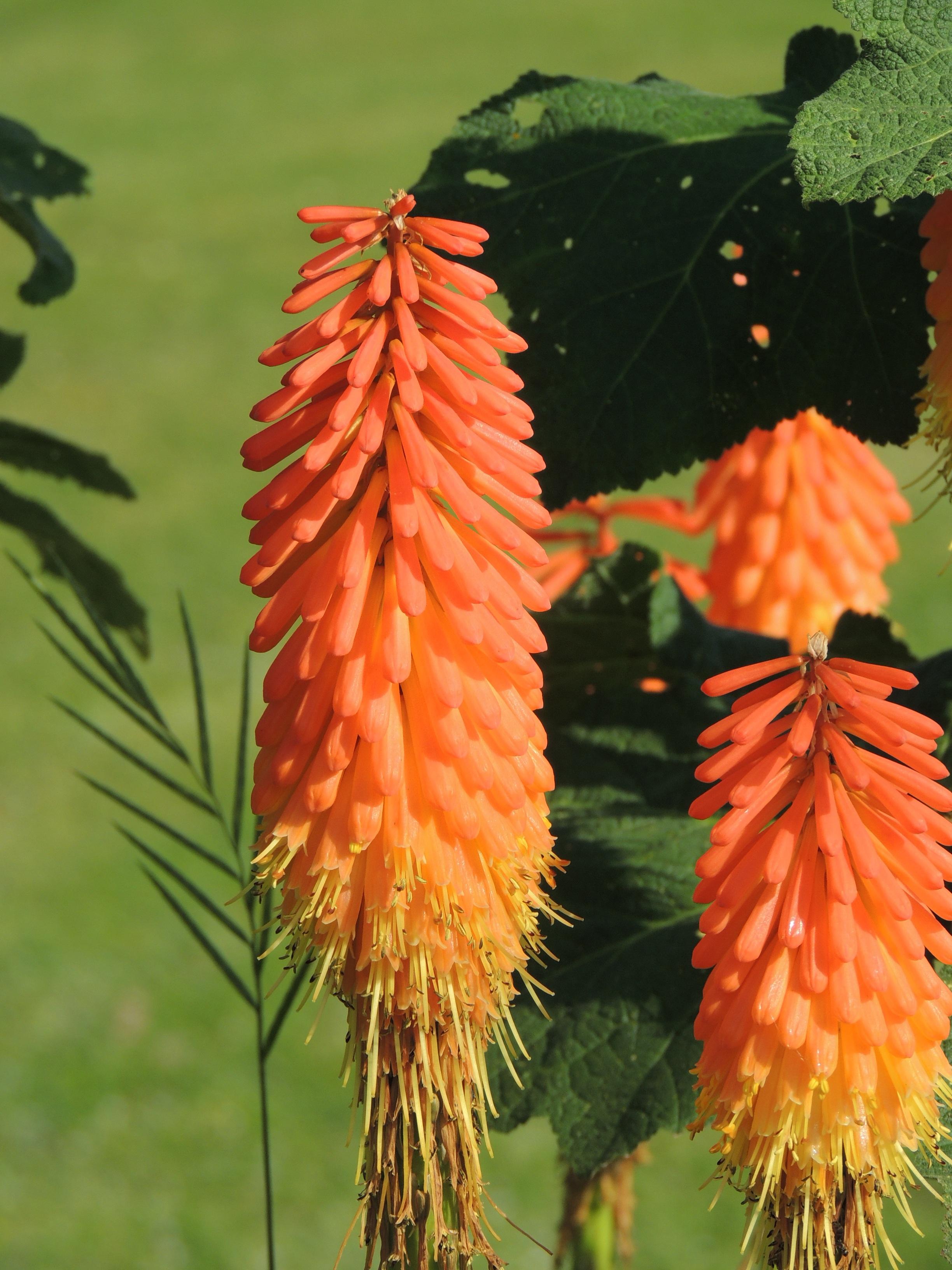 Images gratuites la nature feuille fleur orange for Plante haute