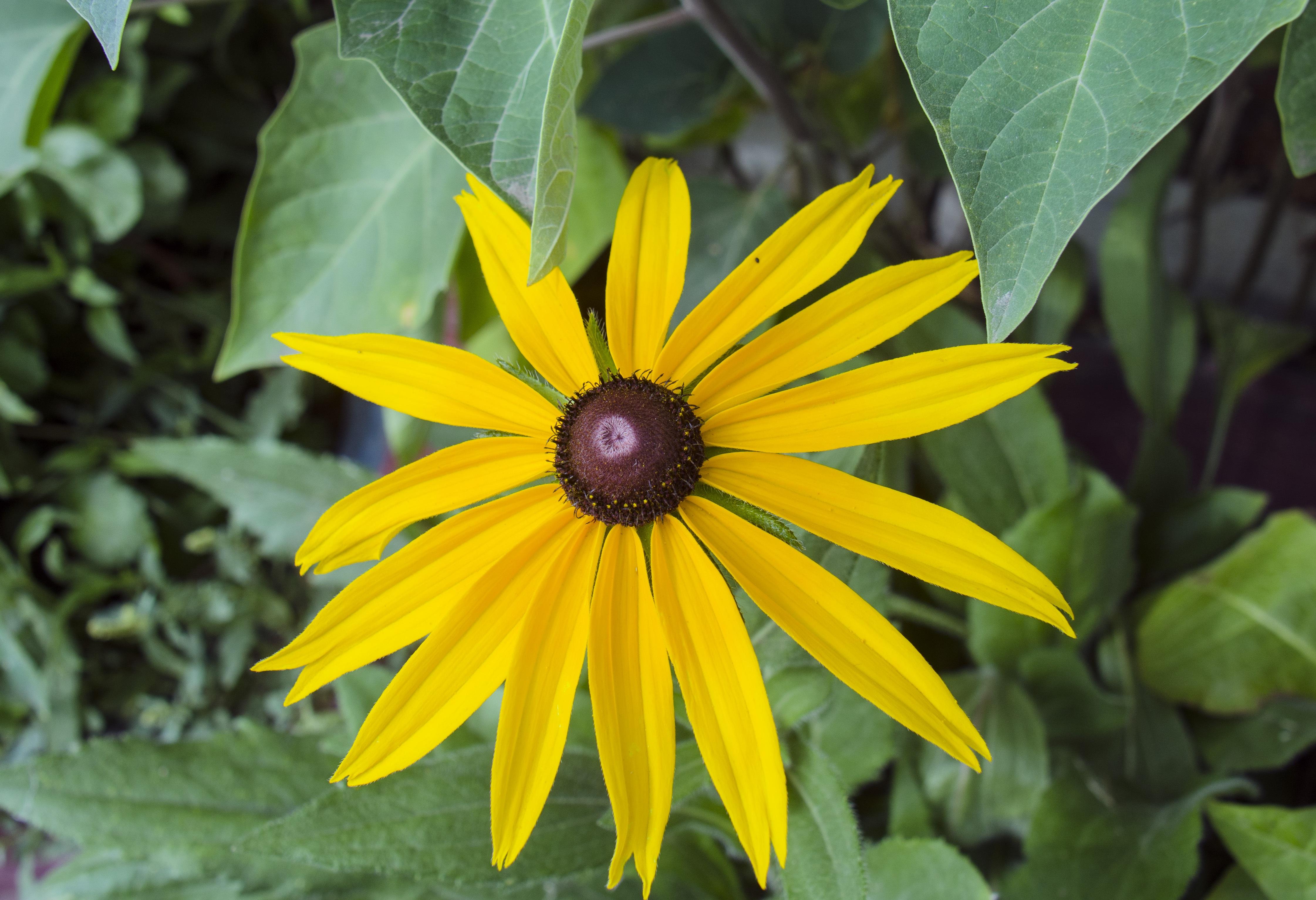 Images gratuites la nature feuille fleur p tale for Plante 7 feuilles