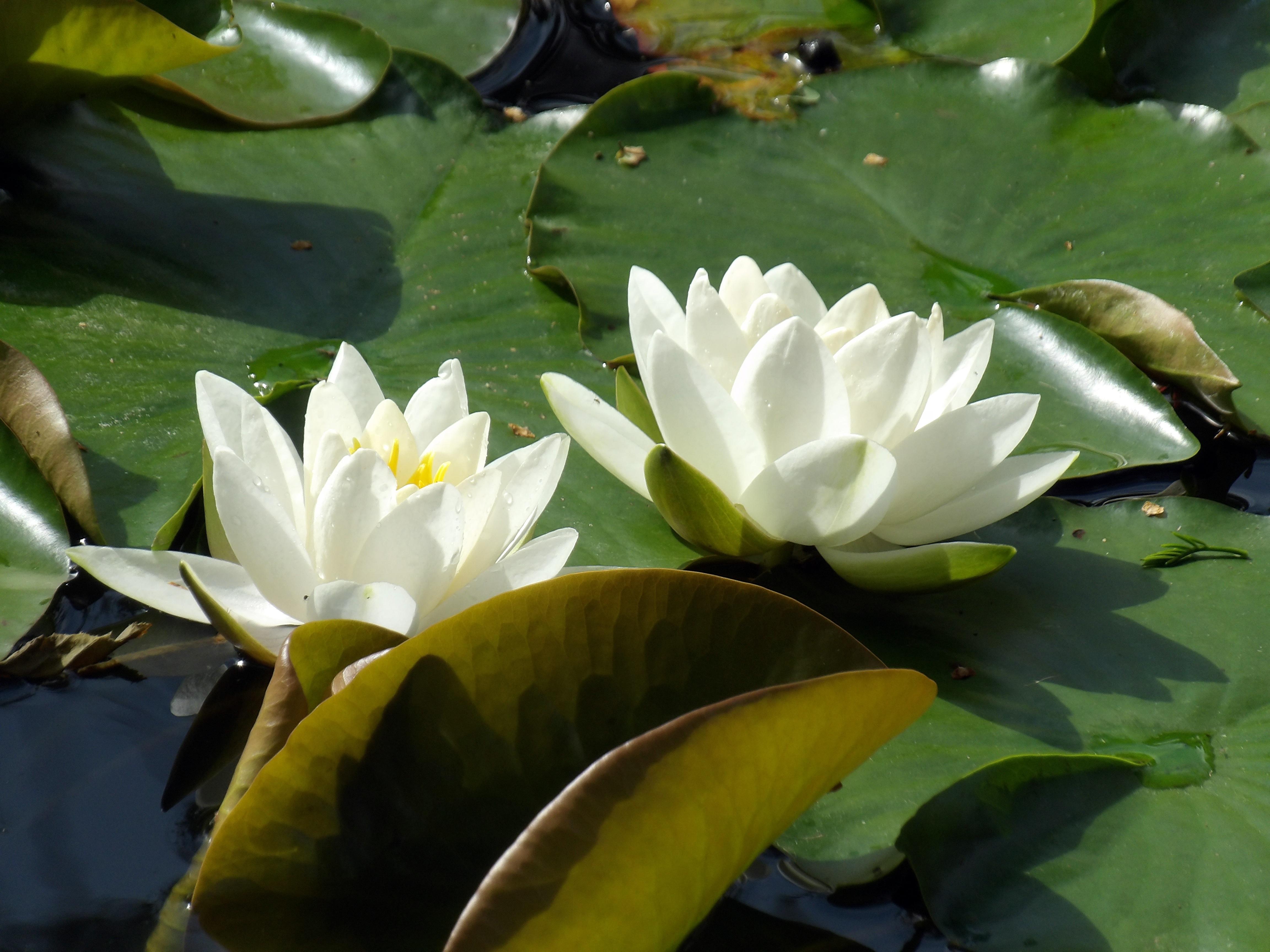 Free Images Nature Leaf Flower Petal Lake Pond Green Botany
