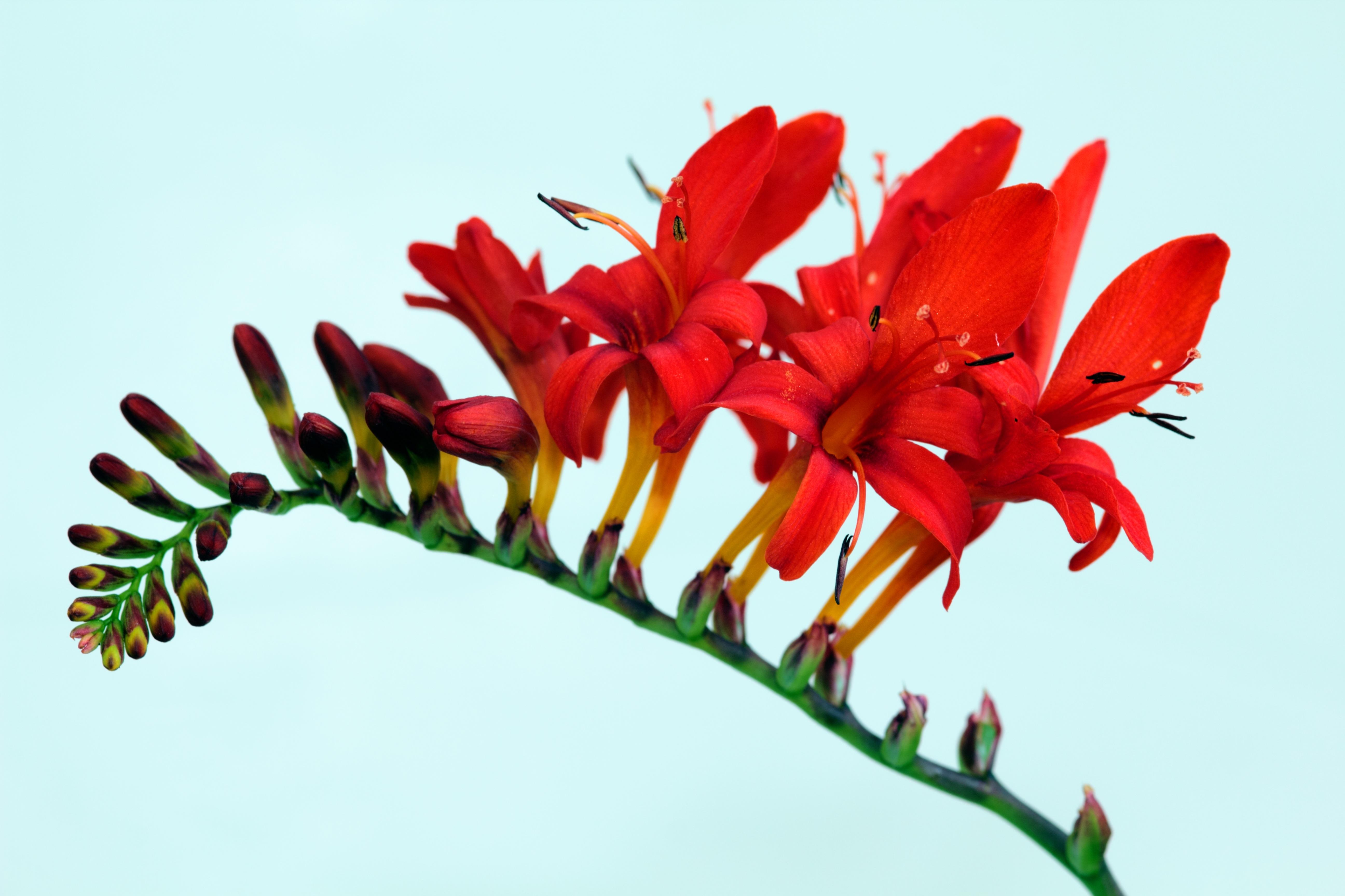 Images gratuites la nature feuille fleur p tale for Plante rouge