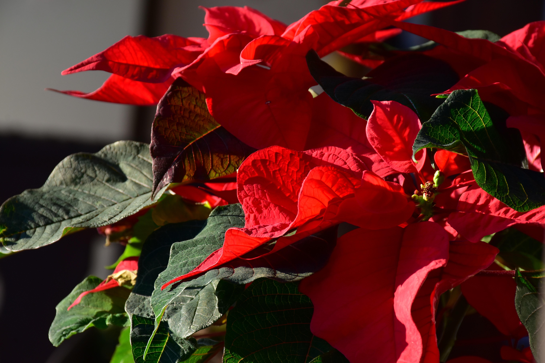 Free Images Nature Leaf Flower Petal Rose Green Red Flora