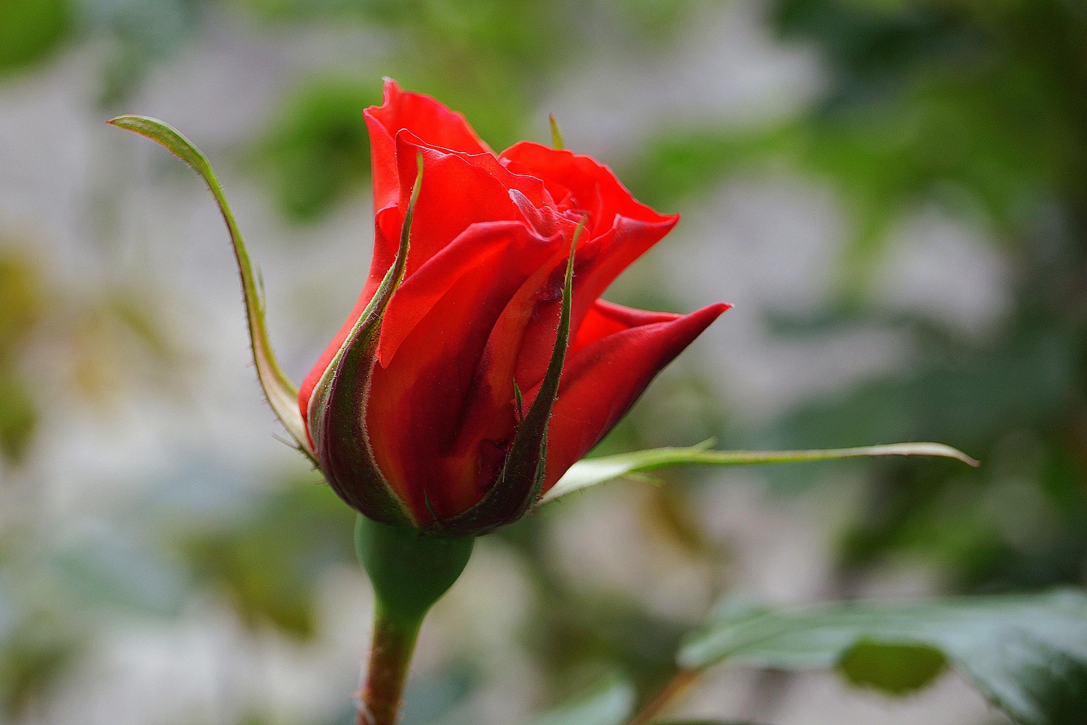 Gambar Alam Menanam Daun Bunga Botani Flora Mawar Merah Bunga Bunga Merapatkan Tunas Fotografi Makro Bunga Mawar Tanaman Berbunga Mawar Taman Keluarga Mawar Batang Tanaman Tanaman Tanah Agar Naik 2141x1428