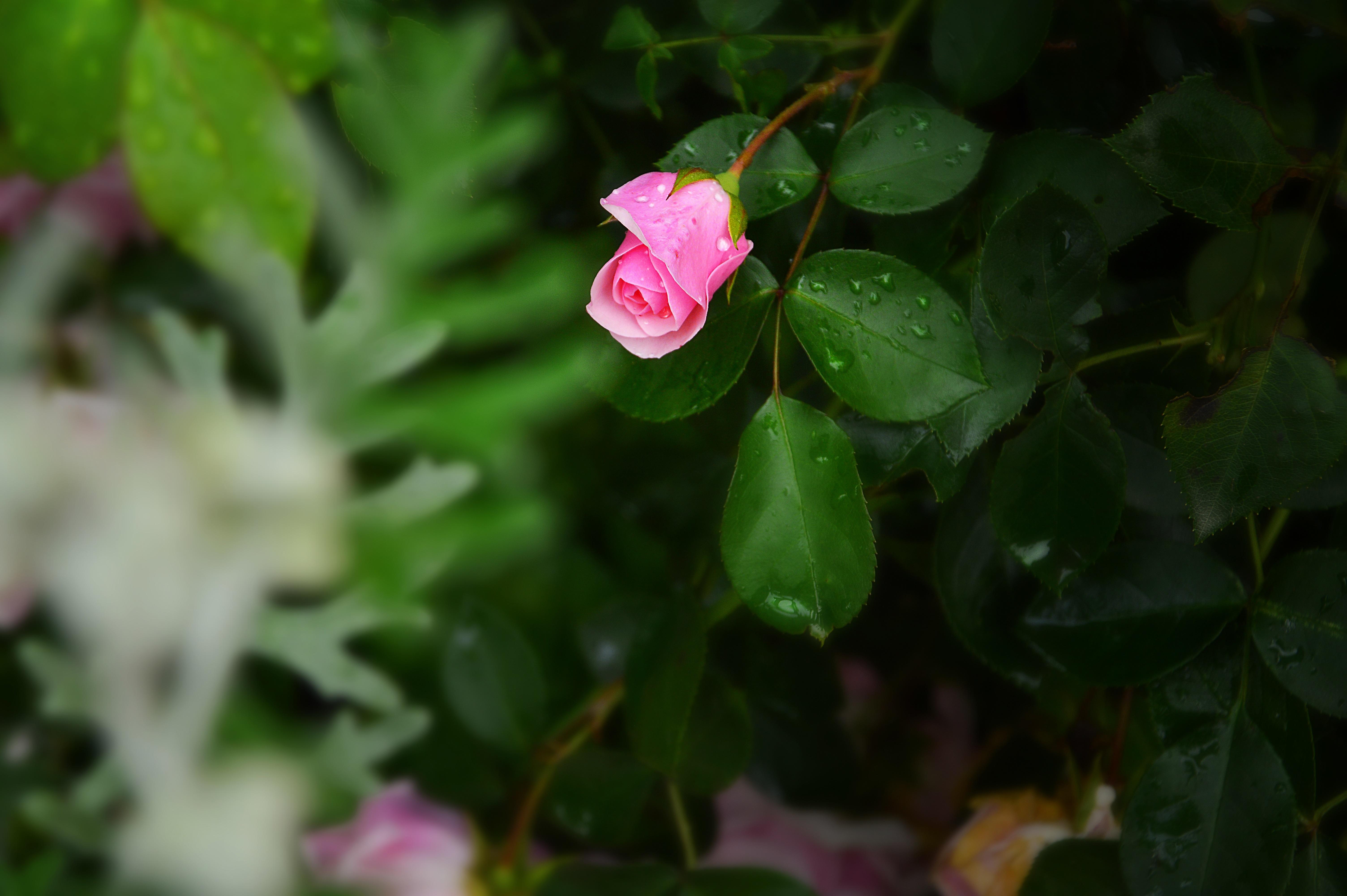 розы,капли,бутоны,зелень  № 759642 бесплатно