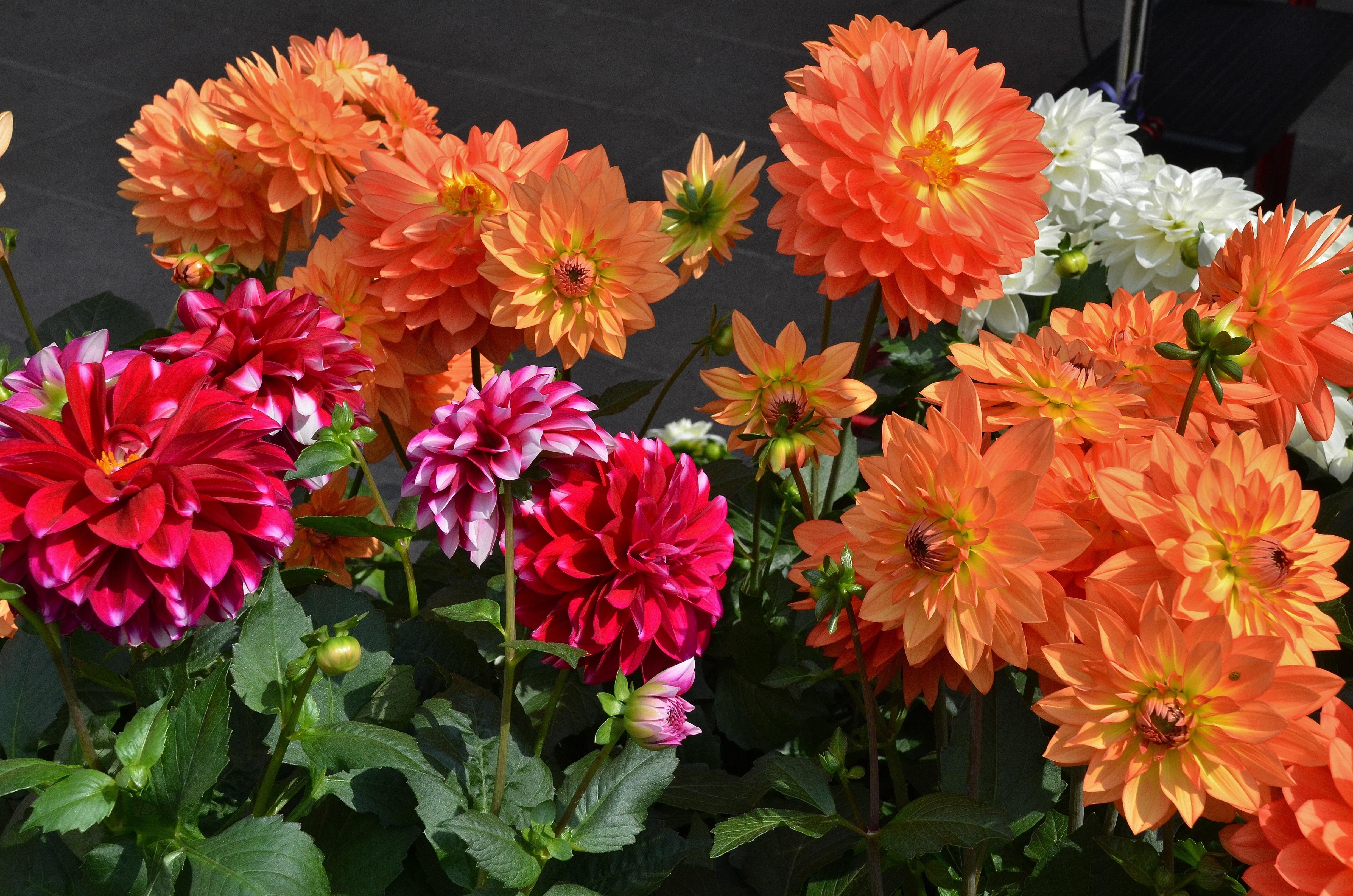 двухподъездный георгин фото цветов в саду героизмом