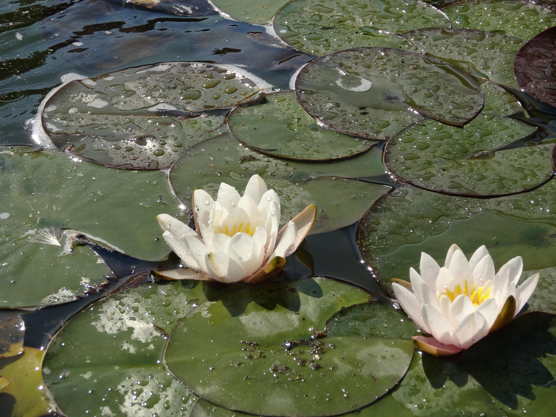 Gratuites la nature feuille fleur étang vert