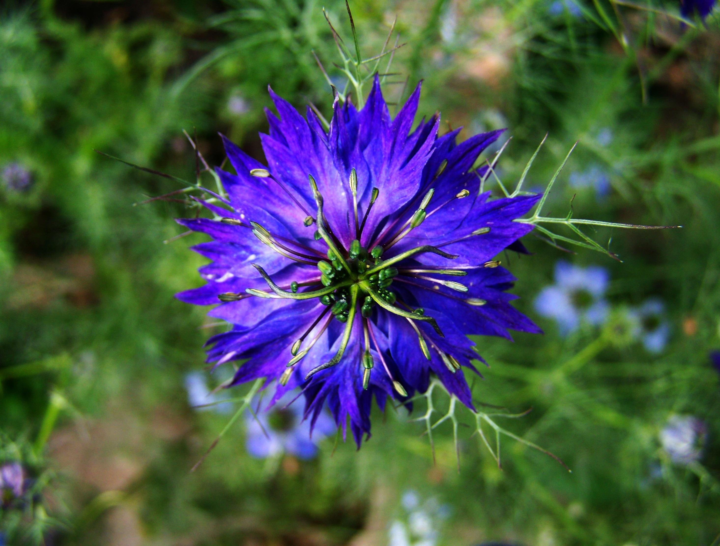 Garten blumen blau  Kostenlose foto : Natur, Wiese, Blume, Kraut, Botanik, Flora ...