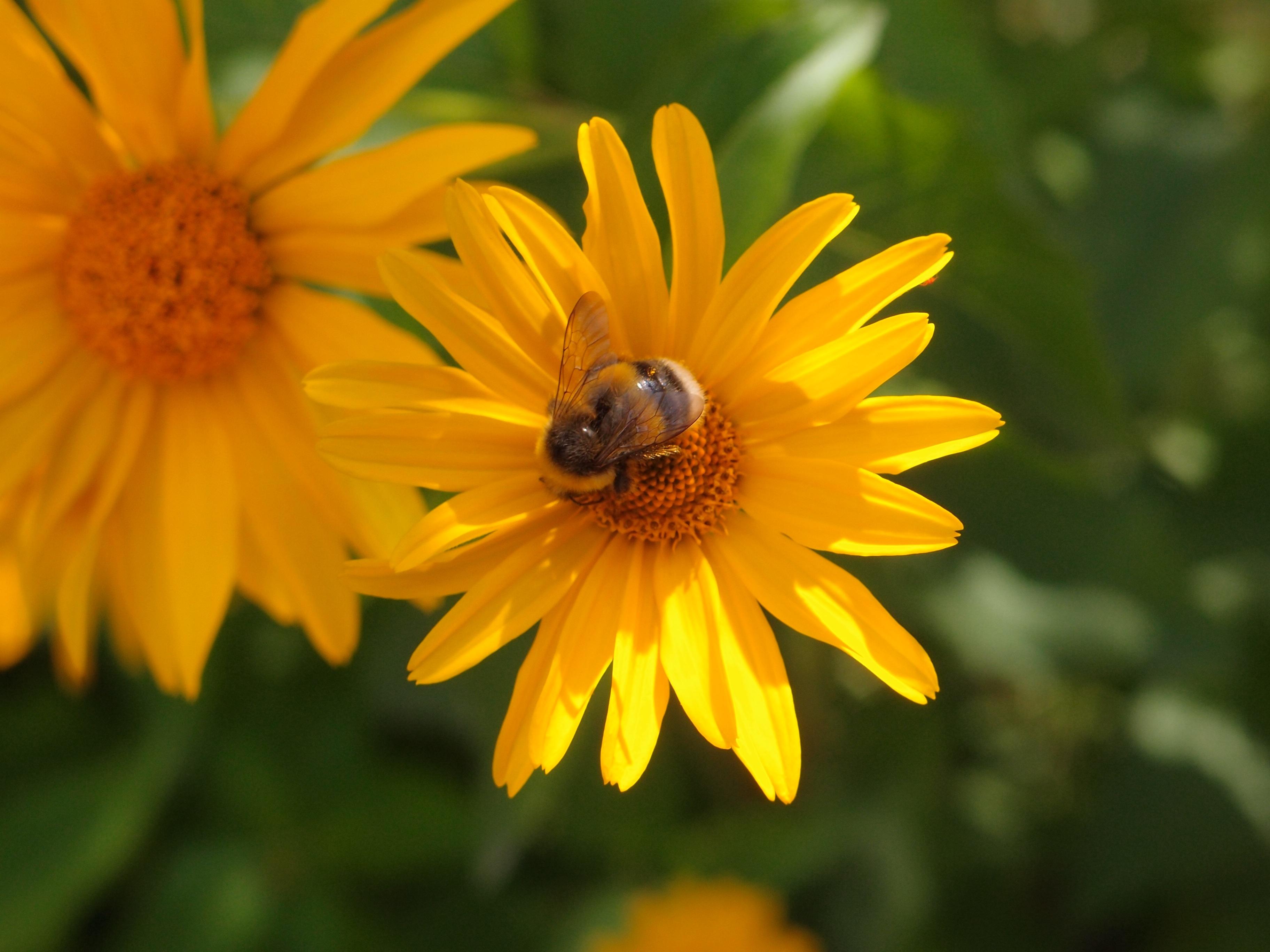 kostenlose foto natur wiese blume bl tenblatt g nsebl mchen kraut botanik gelb flora. Black Bedroom Furniture Sets. Home Design Ideas