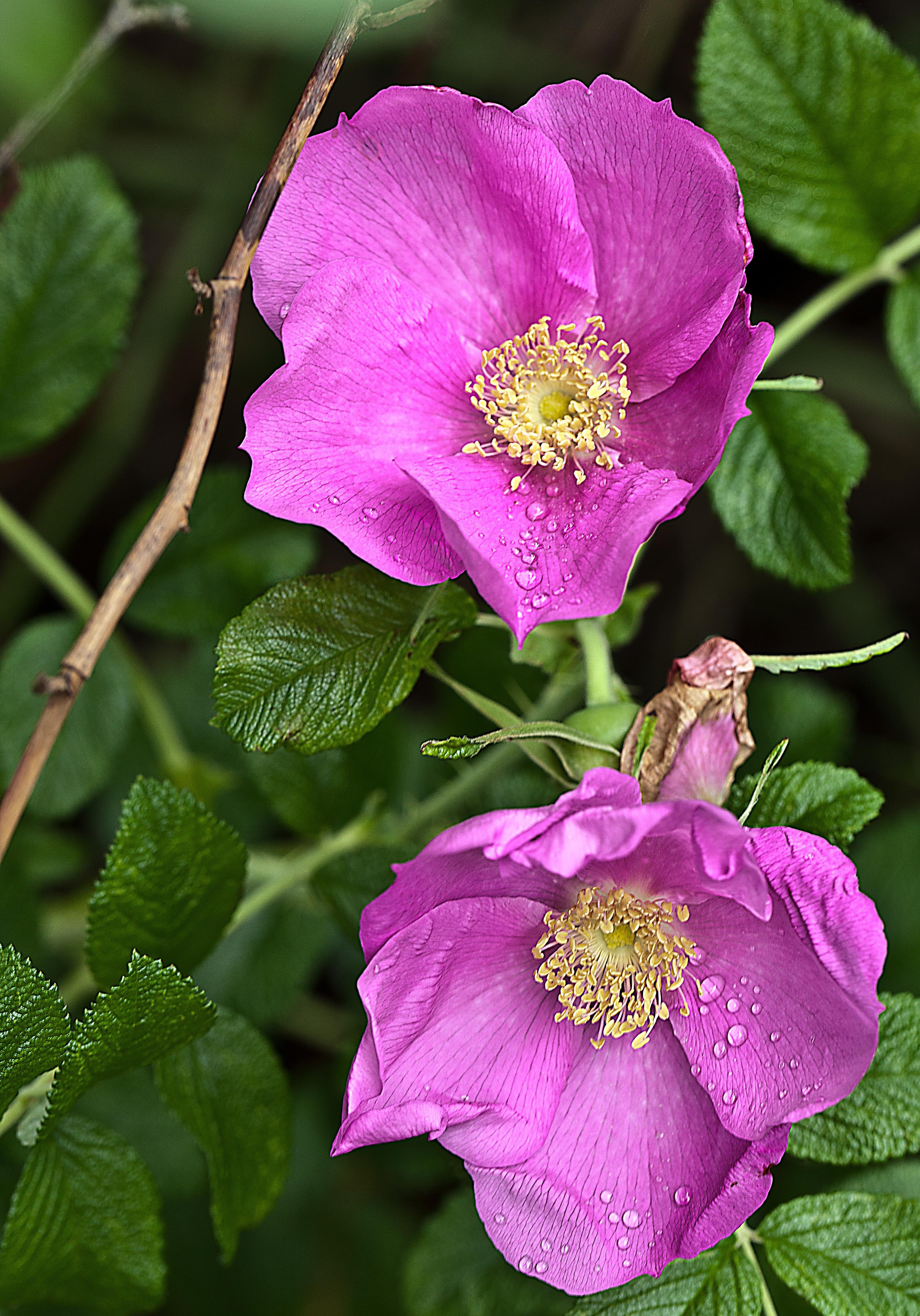 Garden Bush: Free Images : Nature, Meadow, Flower, Petal, Summer