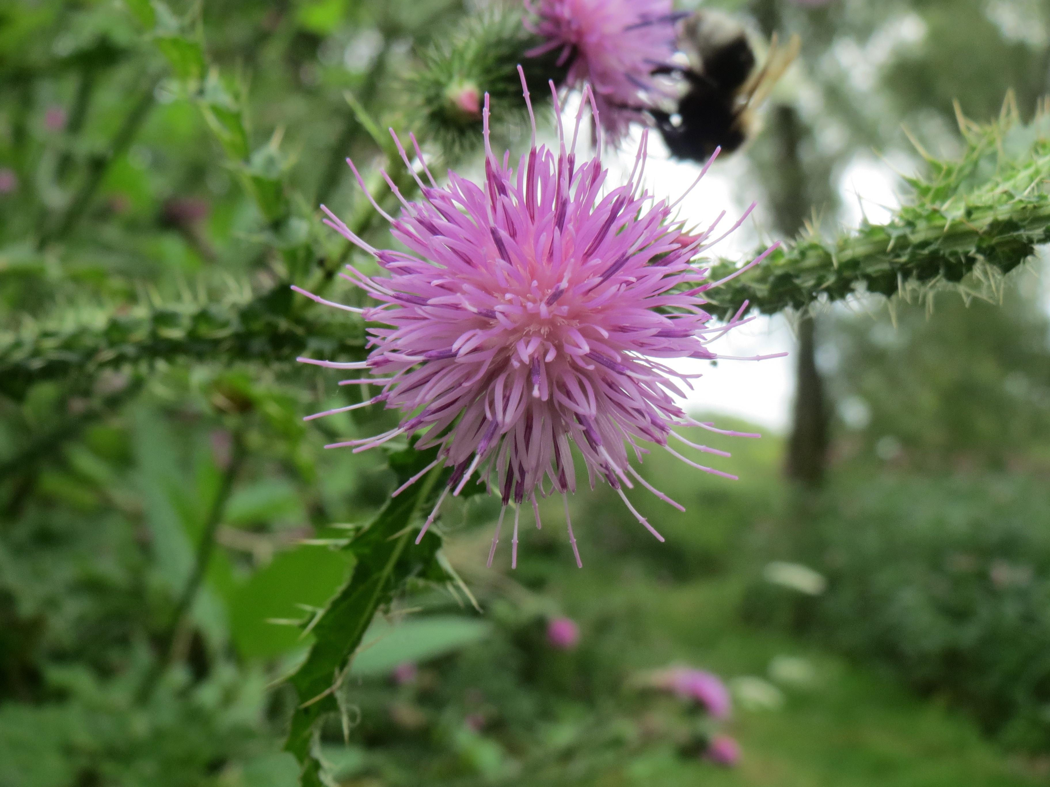 images gratuites la nature prairie violet floraison produire botanique flore fleur. Black Bedroom Furniture Sets. Home Design Ideas