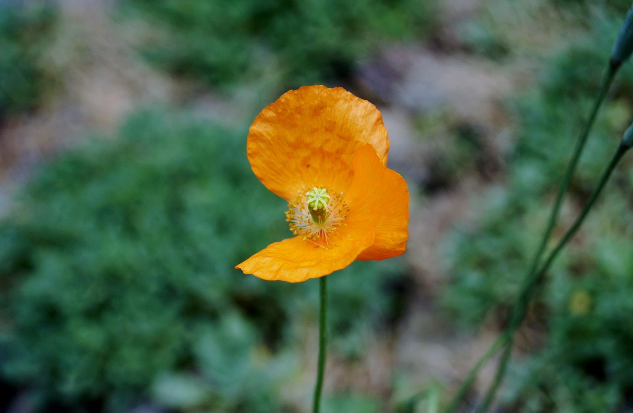 Images gratuites la nature prairie feuille fleur p tale vert l 39 automne botanique jaune - Mauvaise herbe fleur jaune ...